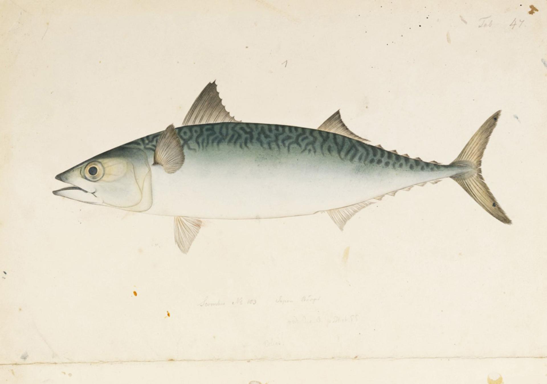 RMNH.ART.543 | Scomber japonicus