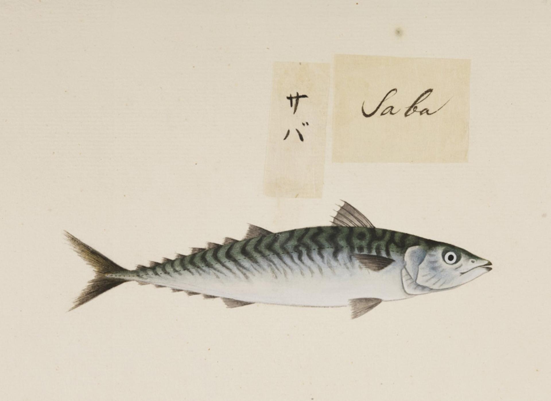 RMNH.ART.544 | Scomber japonicus