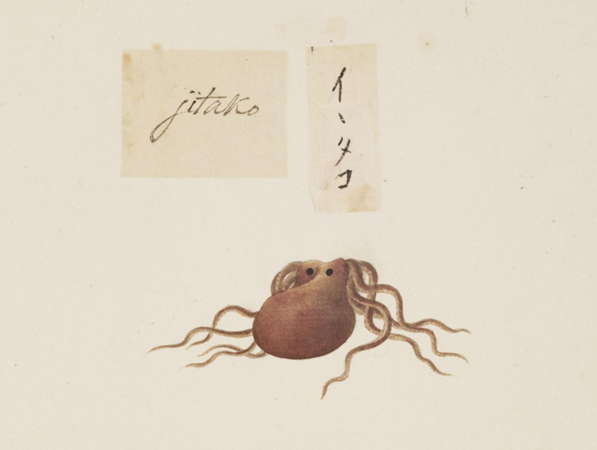 RMNH.ART.547   Octopus sp.