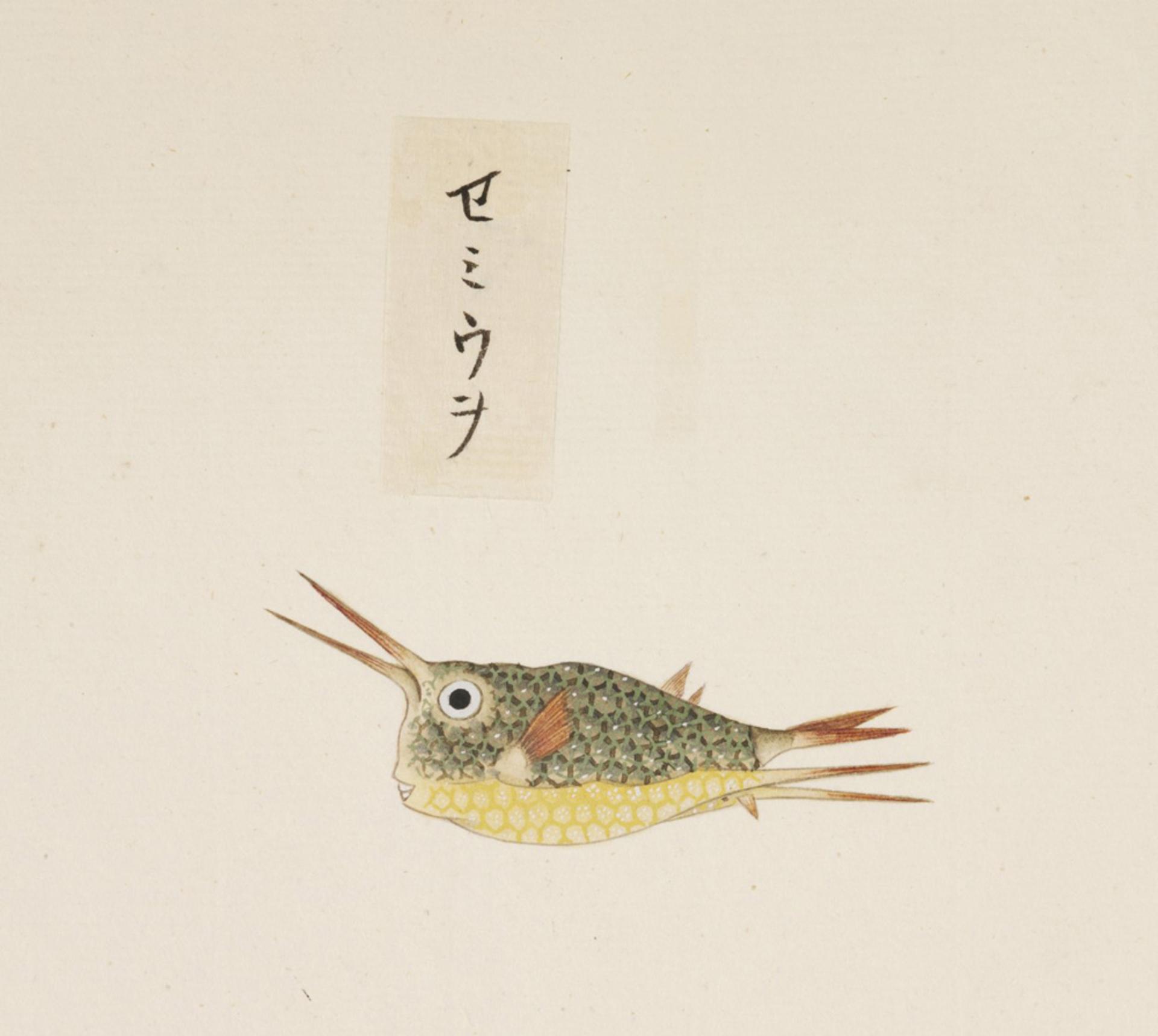 RMNH.ART.557 | Lactoris cornutus