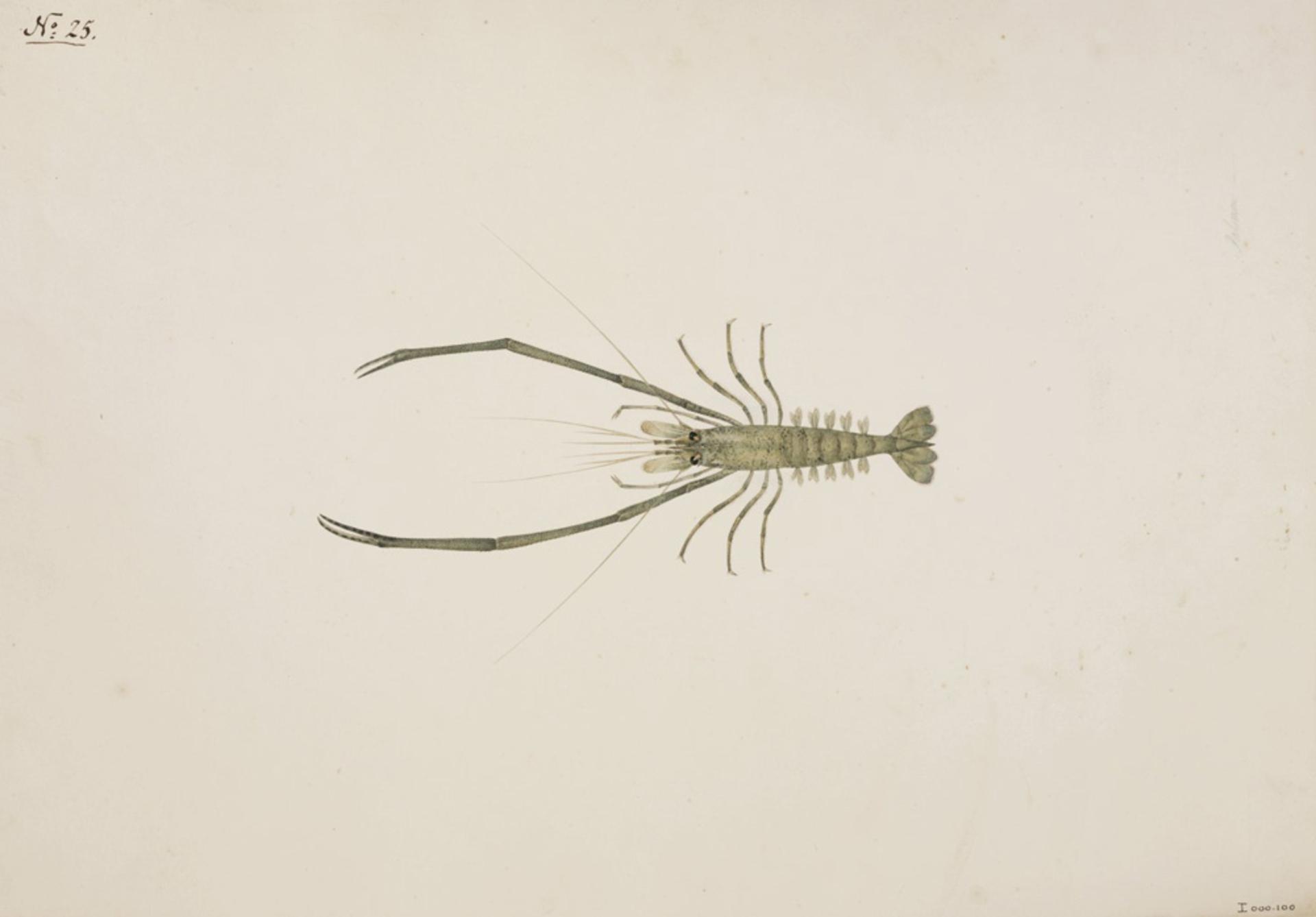 RMNH.ART.56 | Macrobrachium nipponense