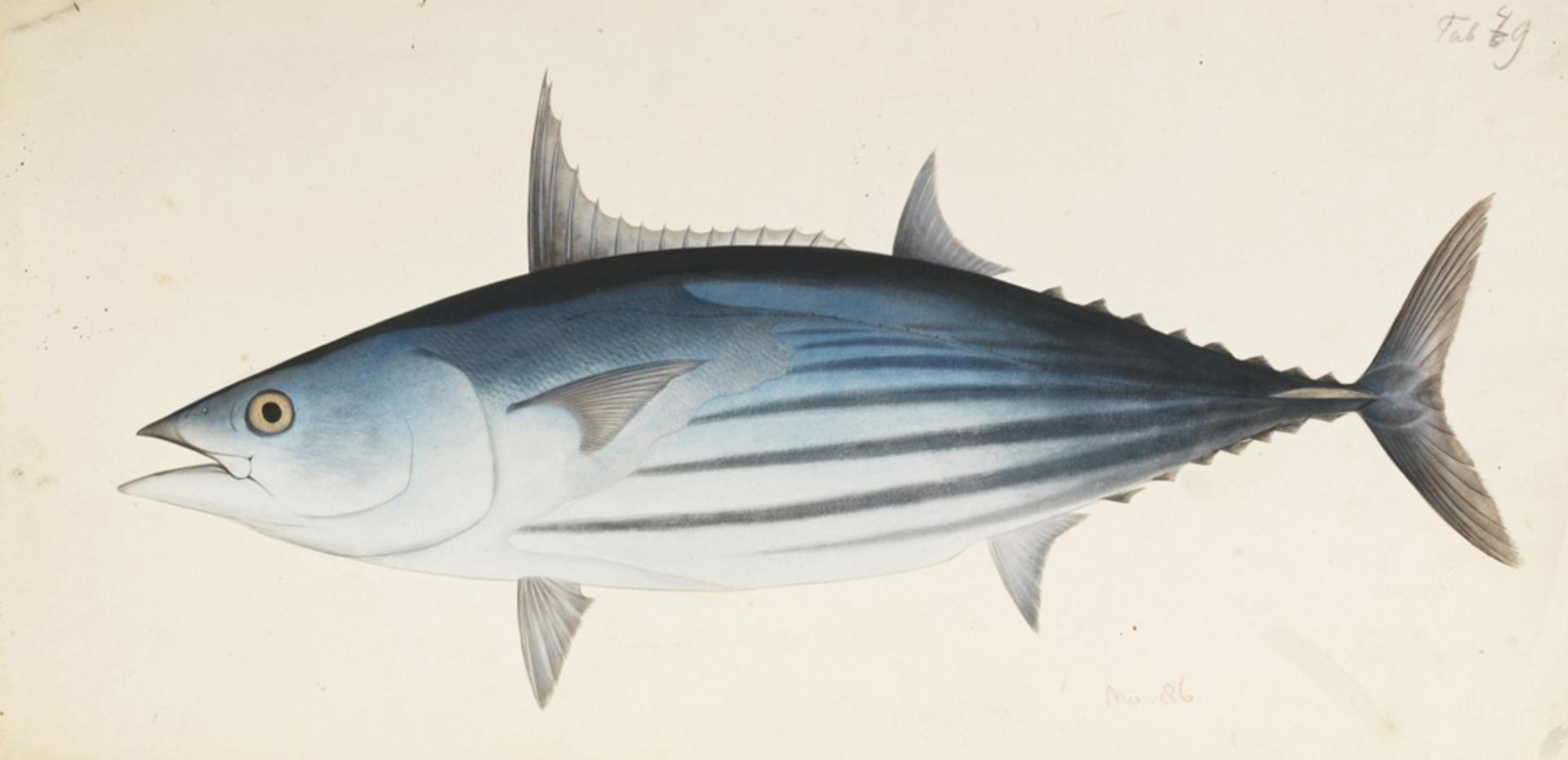 RMNH.ART.563 | Katsuwonus pelamis