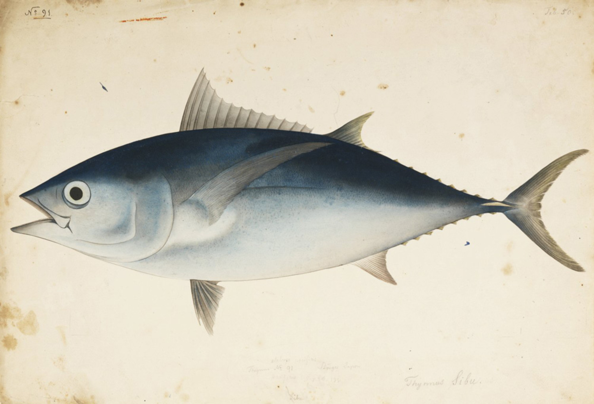 RMNH.ART.564 | Thunus obesus