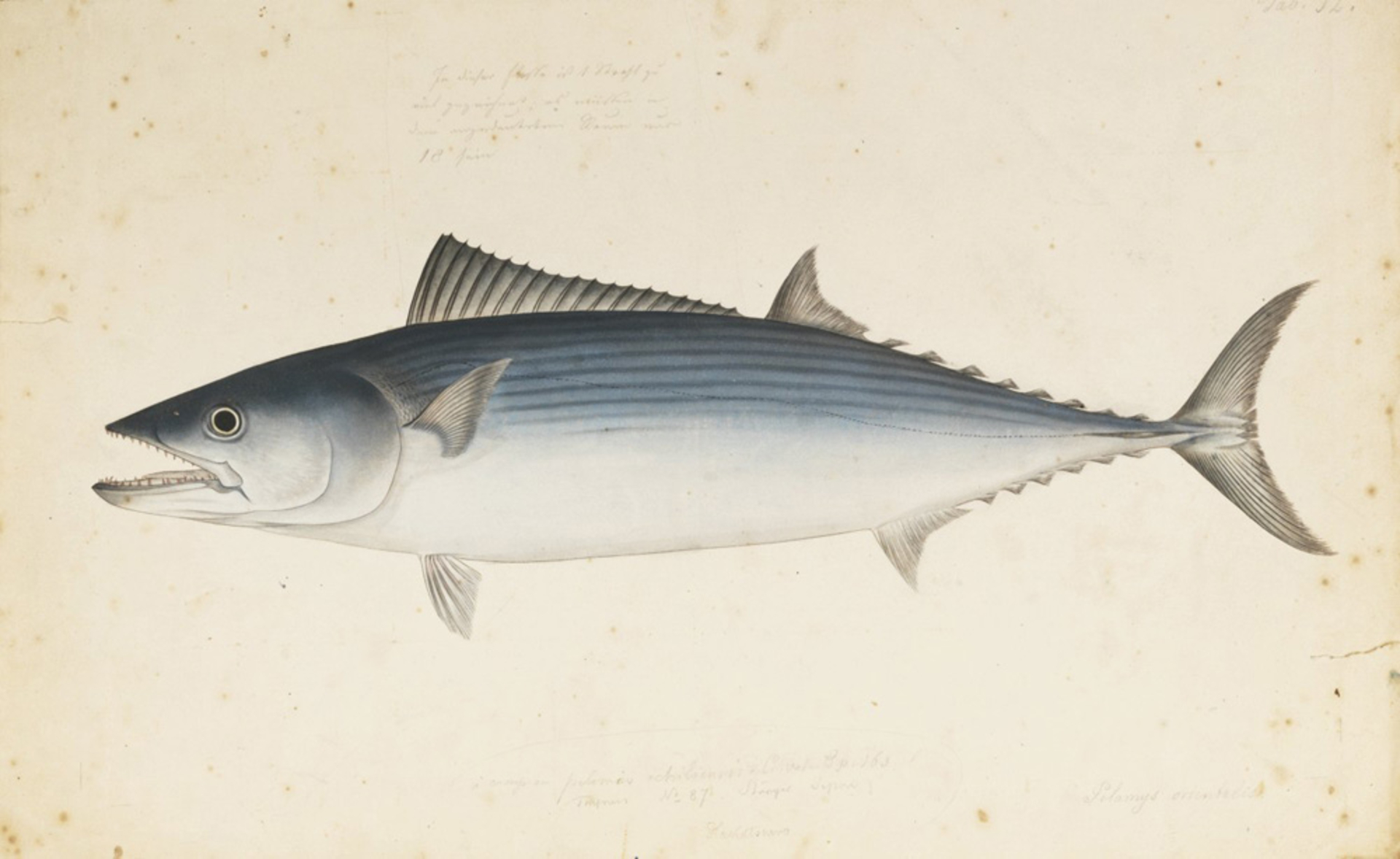 RMNH.ART.567 | Sarda orientalis