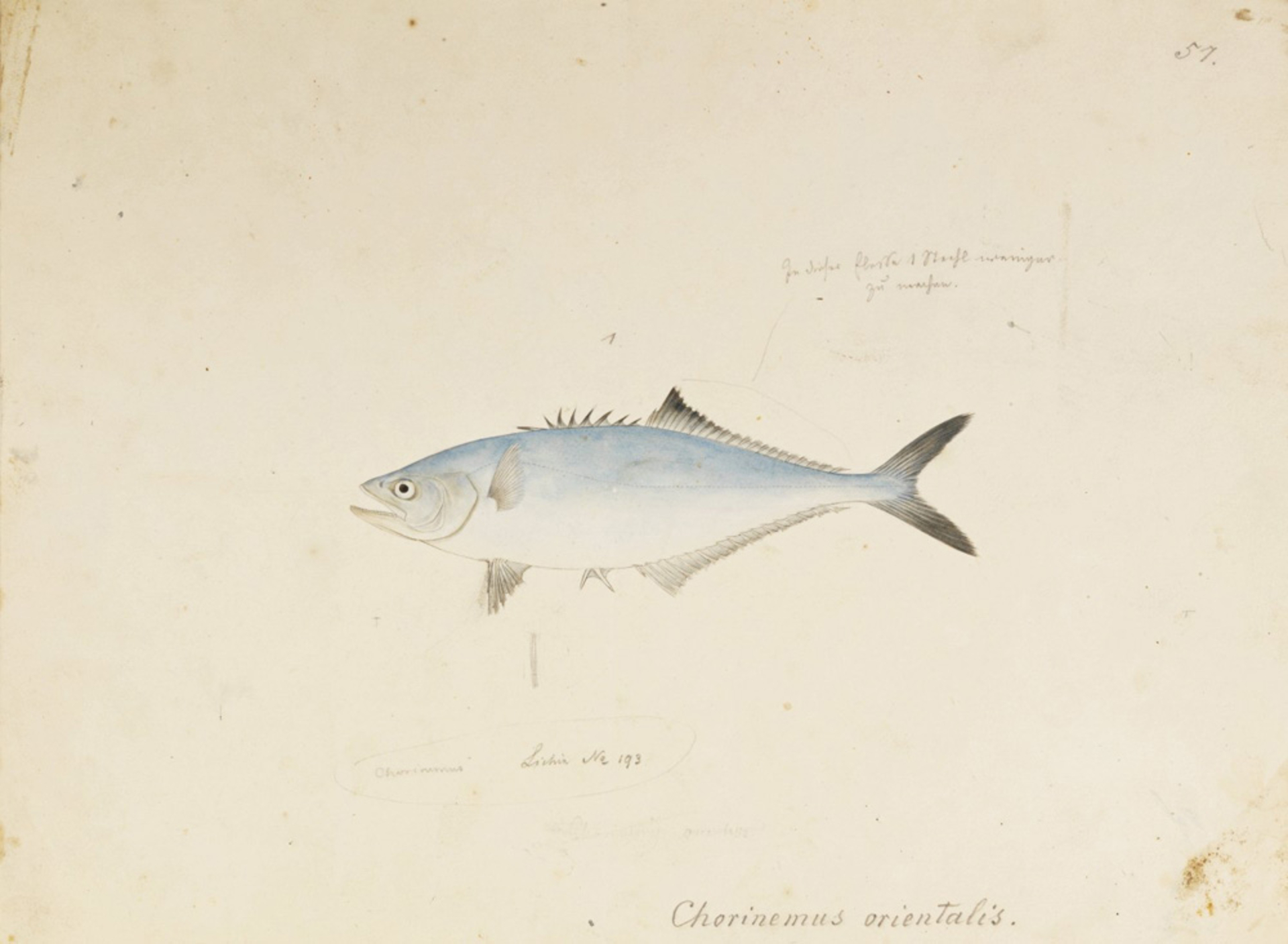 RMNH.ART.569 | Scomberoides lysan
