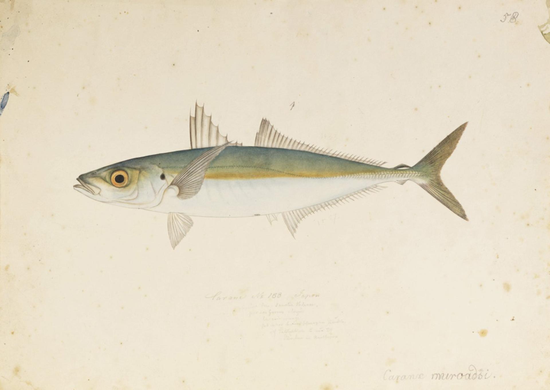 RMNH.ART.571 | Decapterus maruadsi