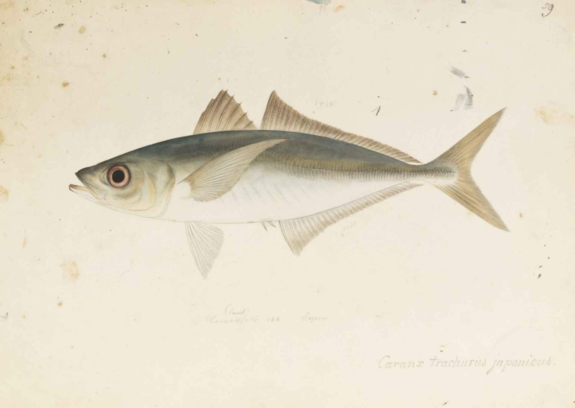 RMNH.ART.573 | Trachurus japonicus