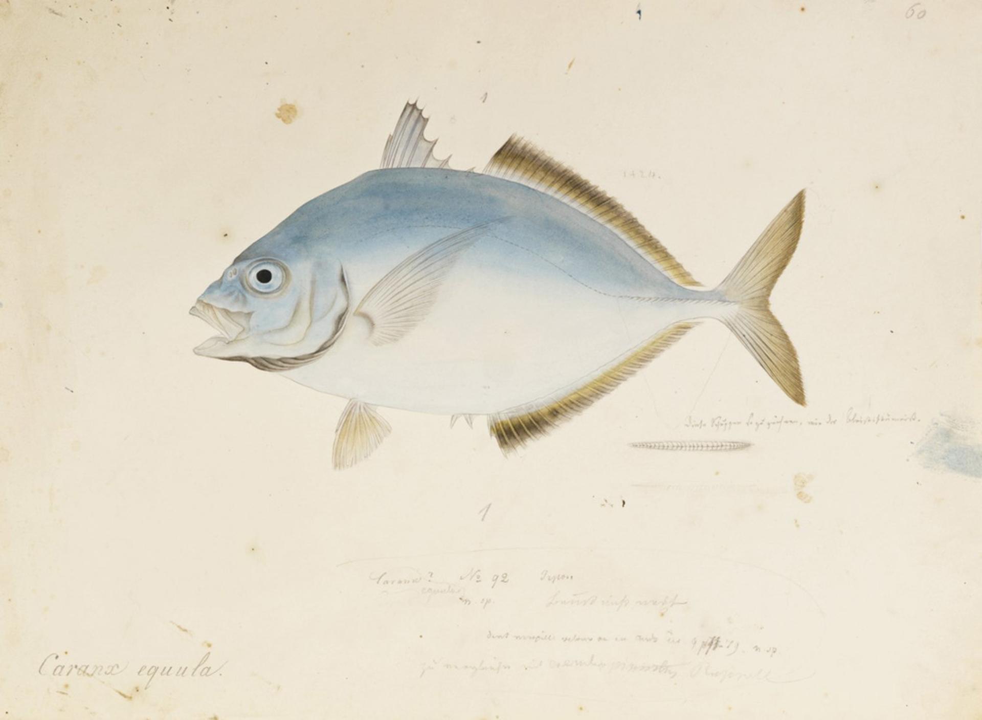 RMNH.ART.580 | Kaiwarinus equula