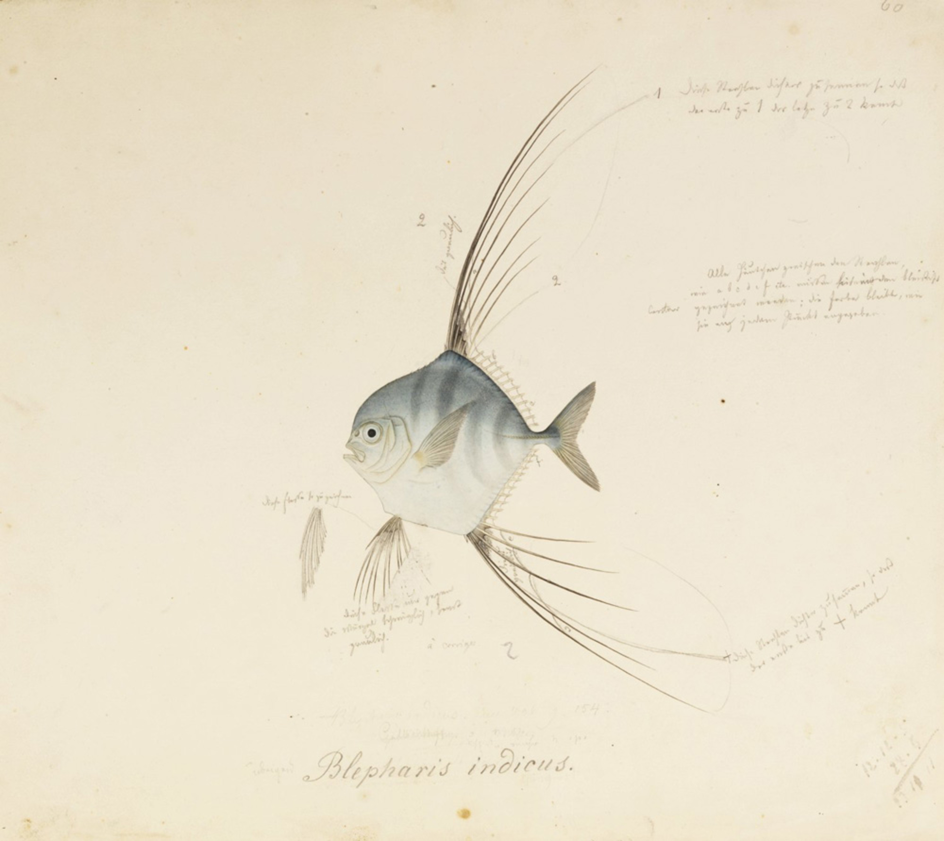 RMNH.ART.584 | Alectis ciliaris