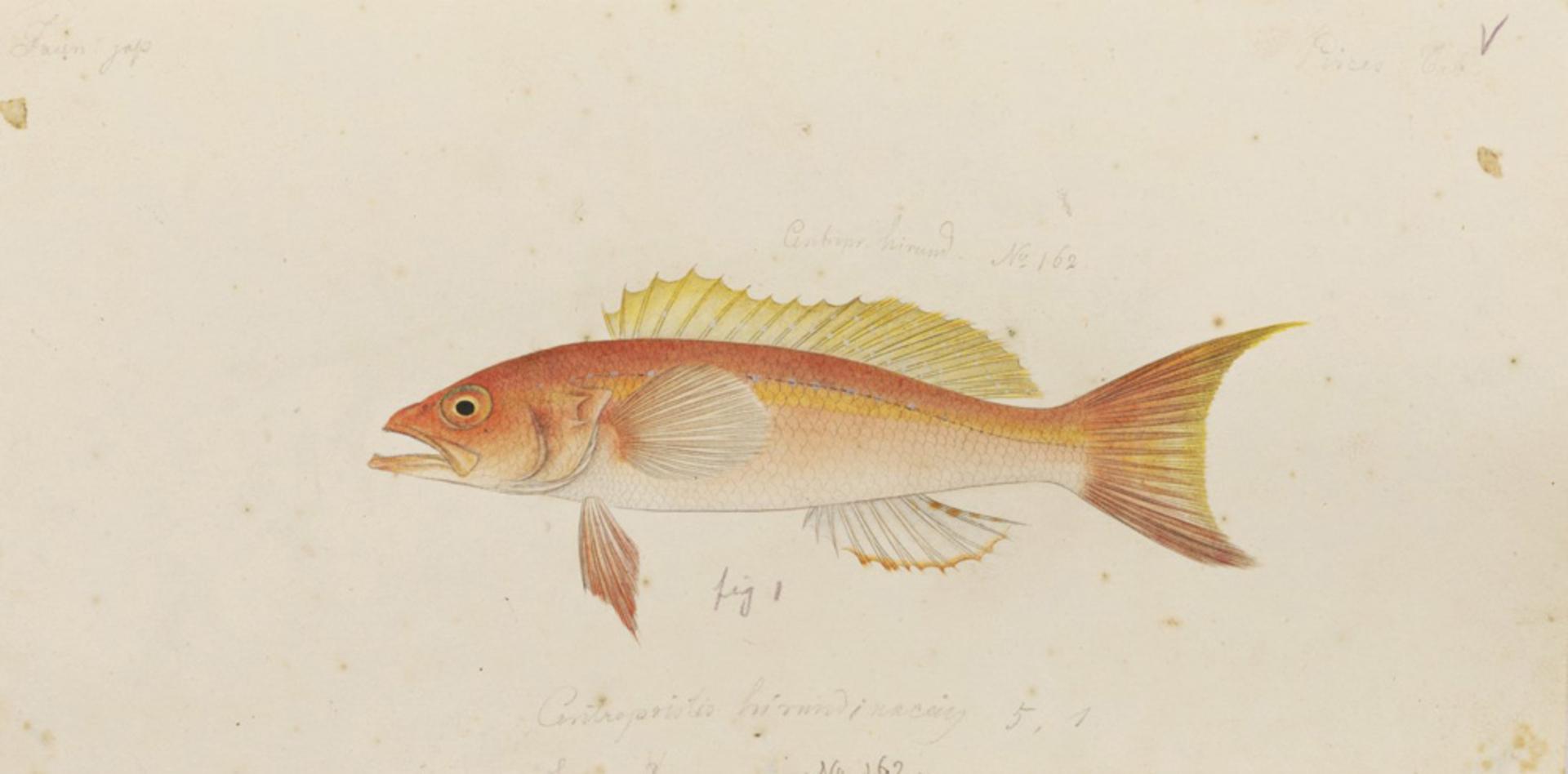 RMNH.ART.587 | Chelidoperca hirundinacea