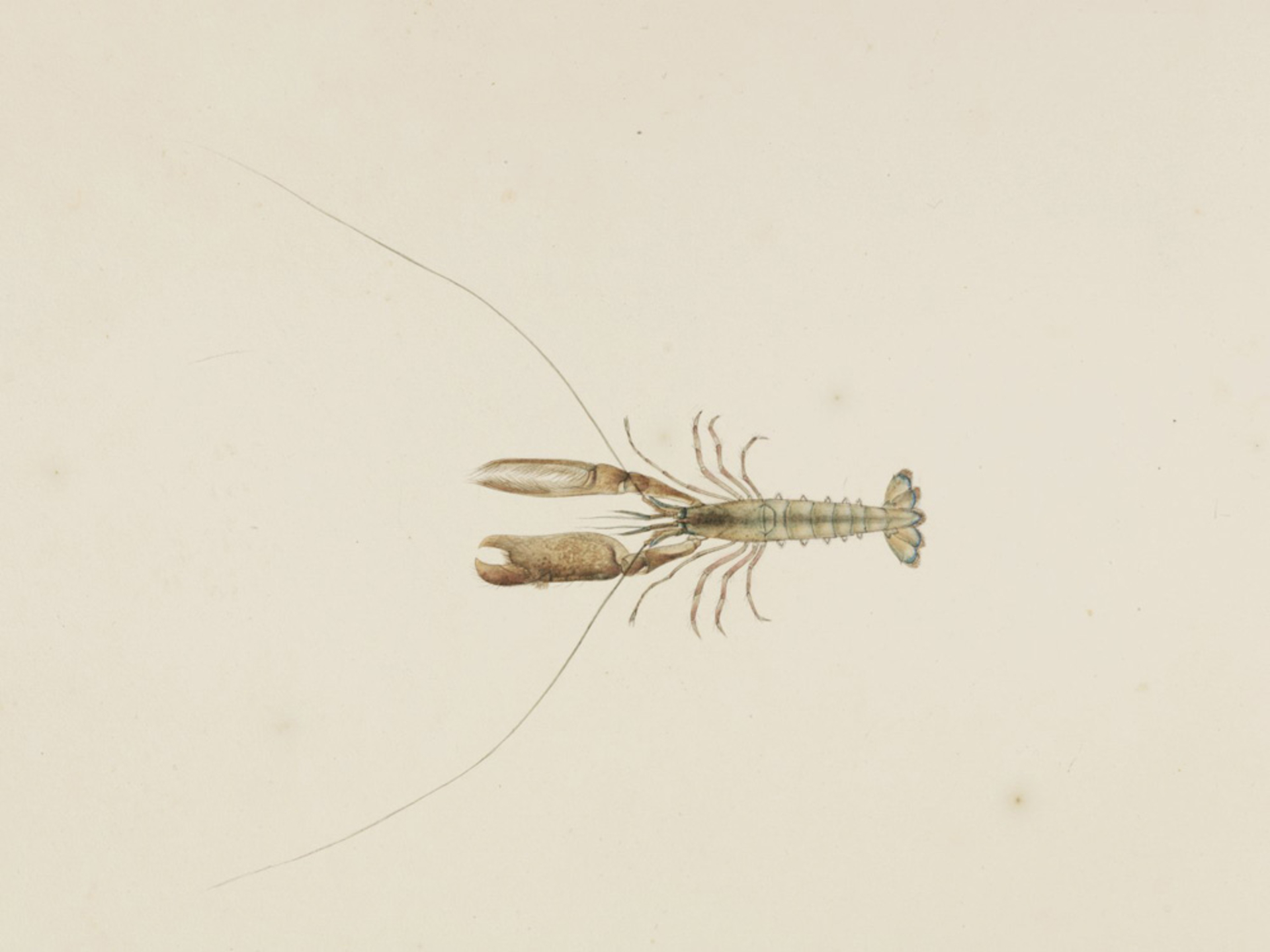 RMNH.ART.59 | Alpheus brevicristatus