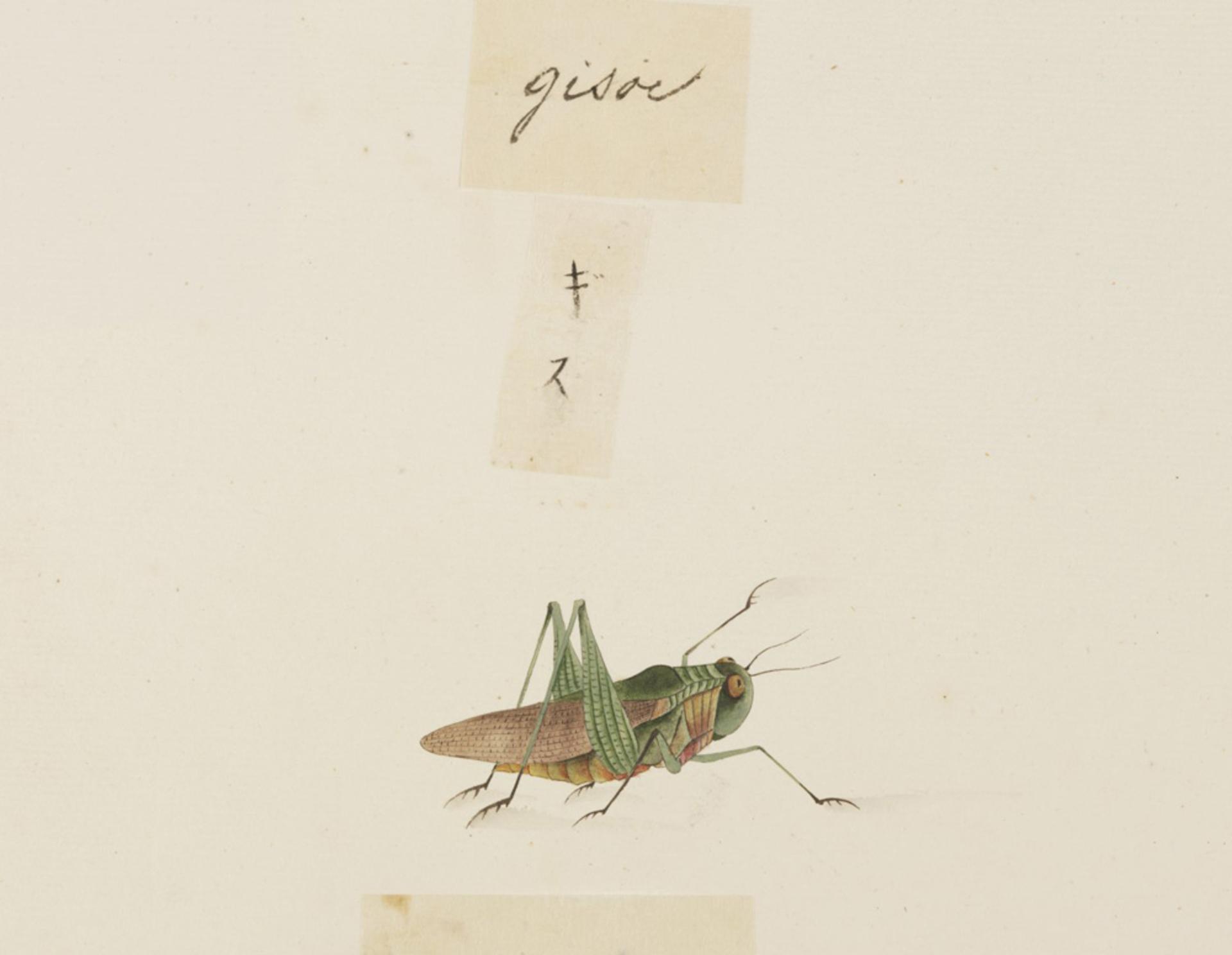 RMNH.ART.592   Locusta migratoria