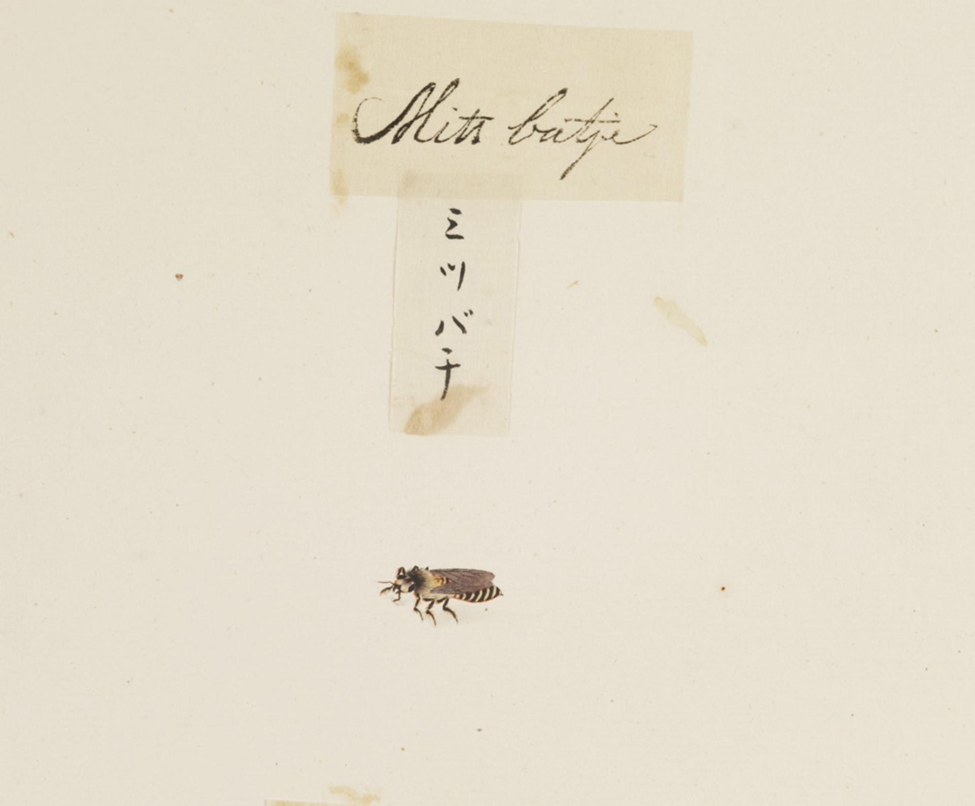 RMNH.ART.593 | Apis cerana