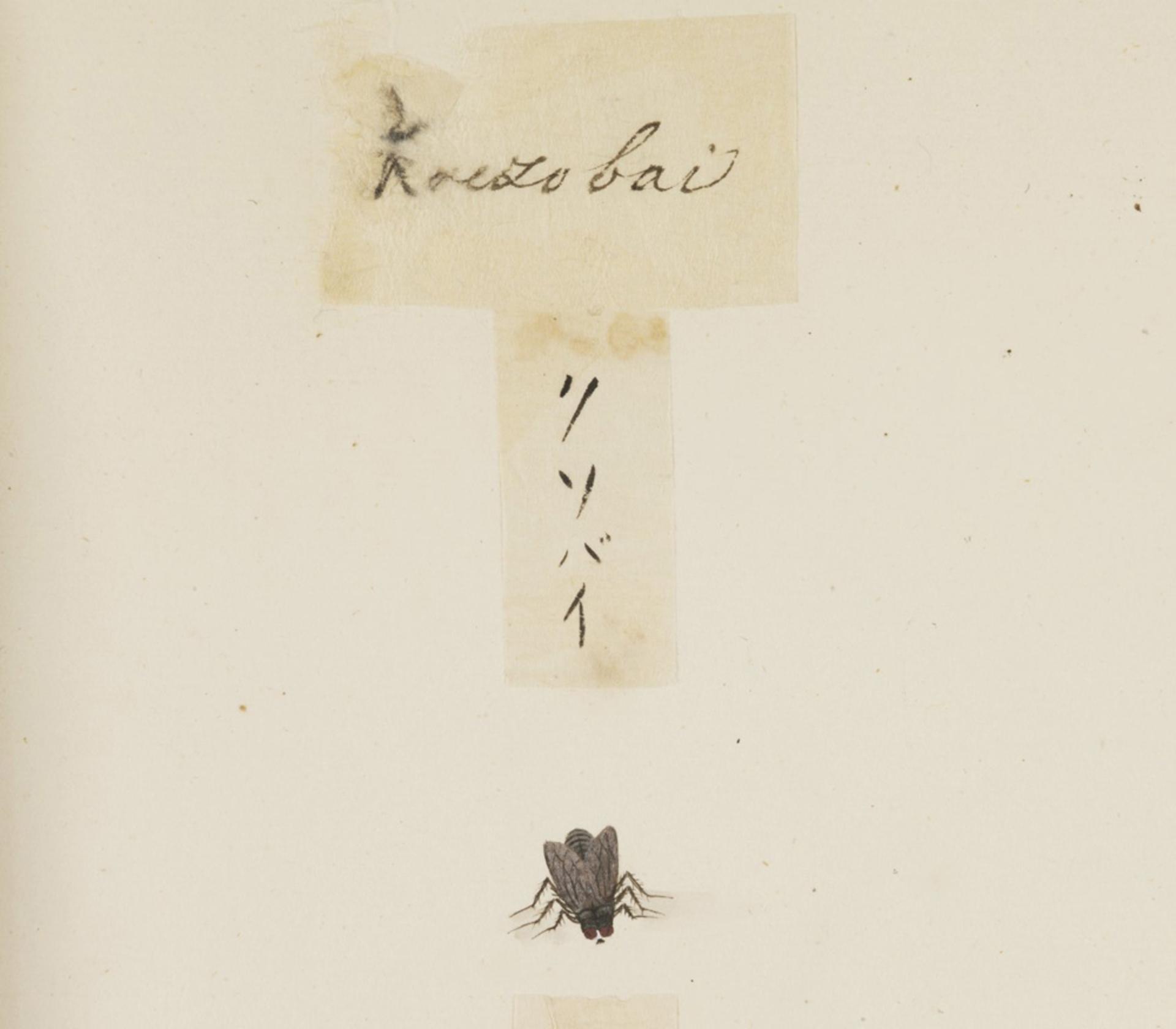 RMNH.ART.596 | Dryomyza formosa