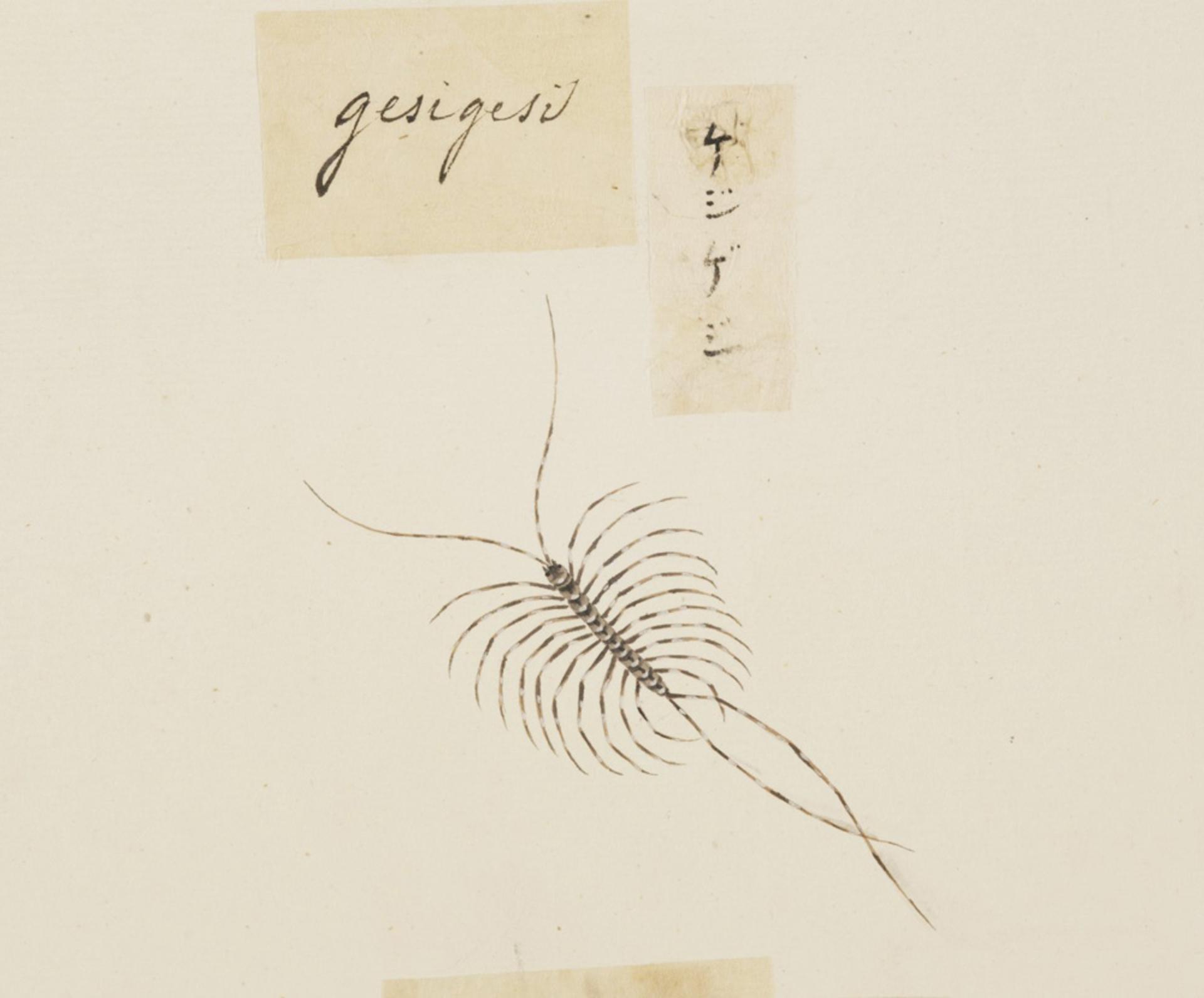RMNH.ART.606 | Thereuonema tuberculata