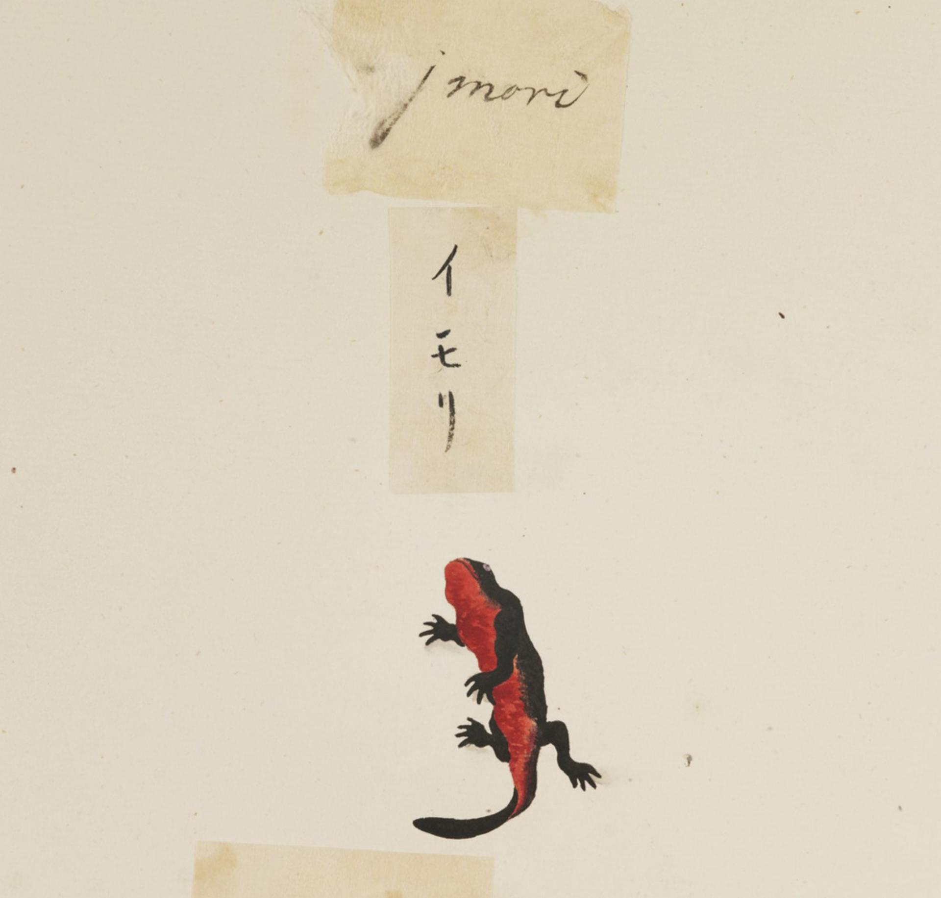RMNH.ART.607 | Cynops pyrrhogaster