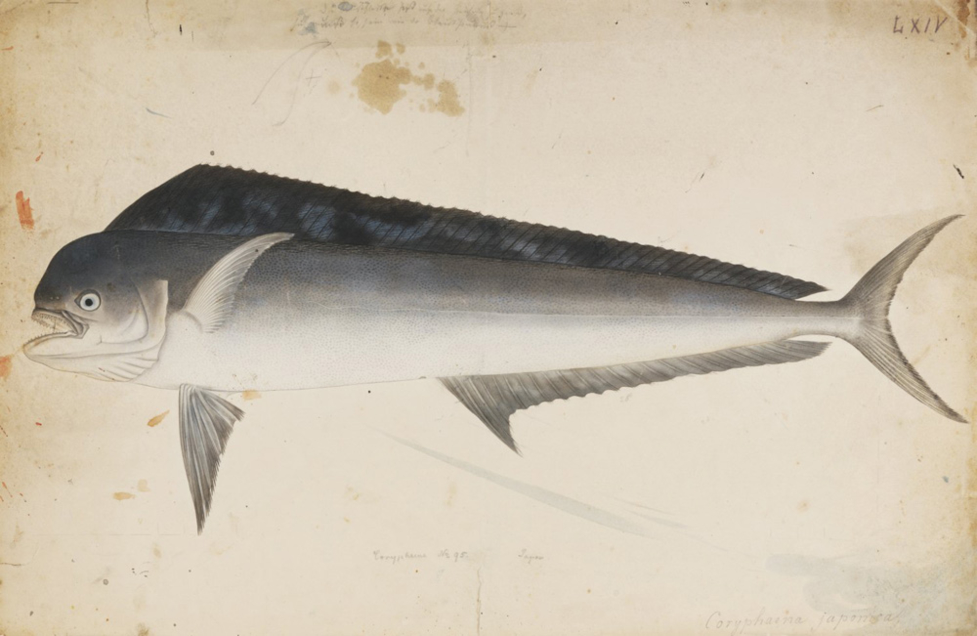 RMNH.ART.610   Coryleura hippurus