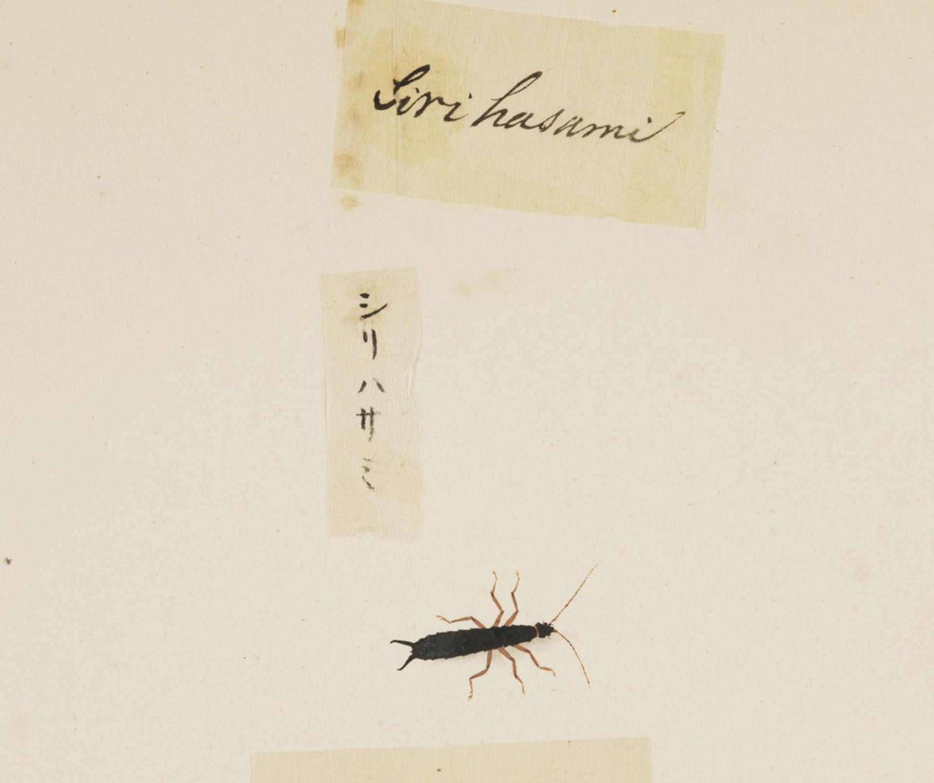 RMNH.ART.613 | Anisolabis maritima