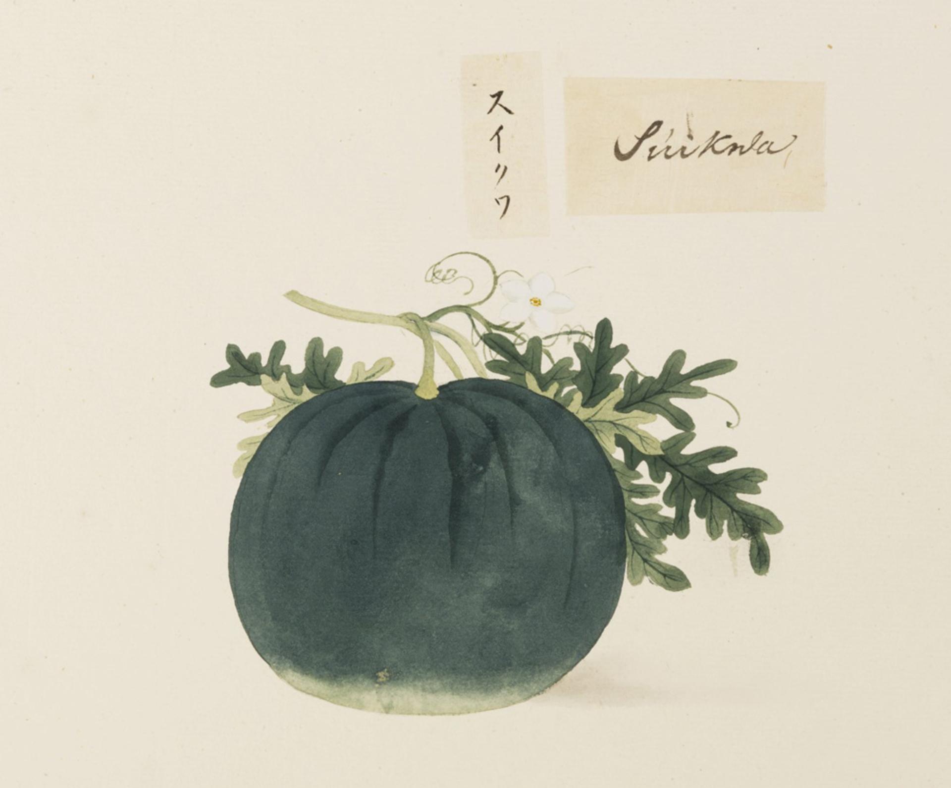 RMNH.ART.615   Citrullus lanatu