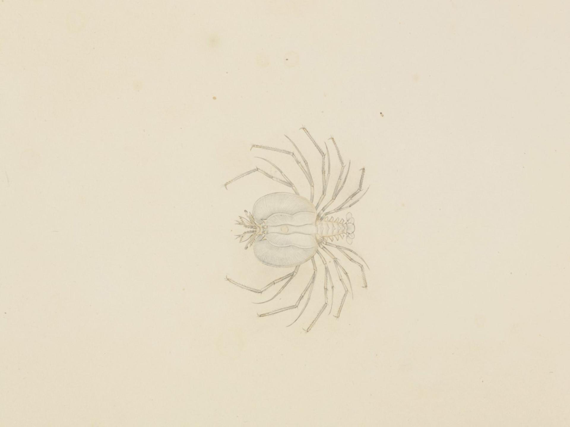 RMNH.ART.62 | Ibacus ciliatus
