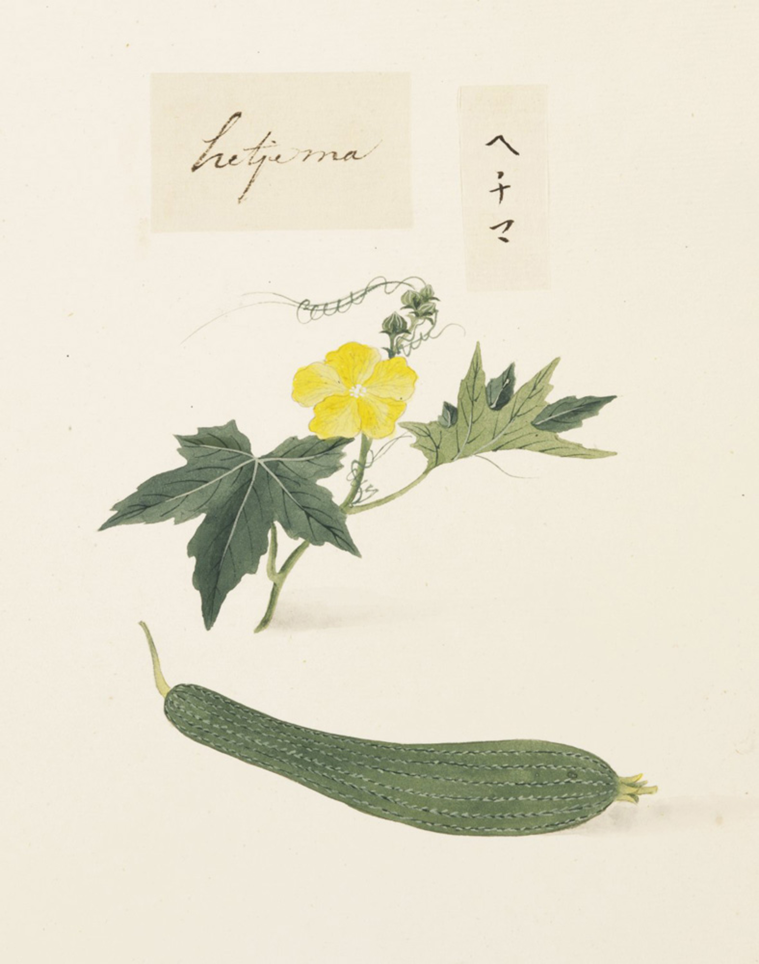 RMNH.ART.620 | Luffa cylindrica