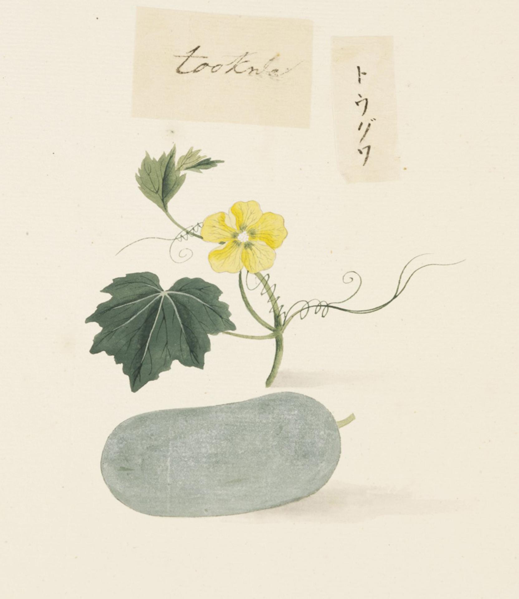 RMNH.ART.623 | Benincasa hispida