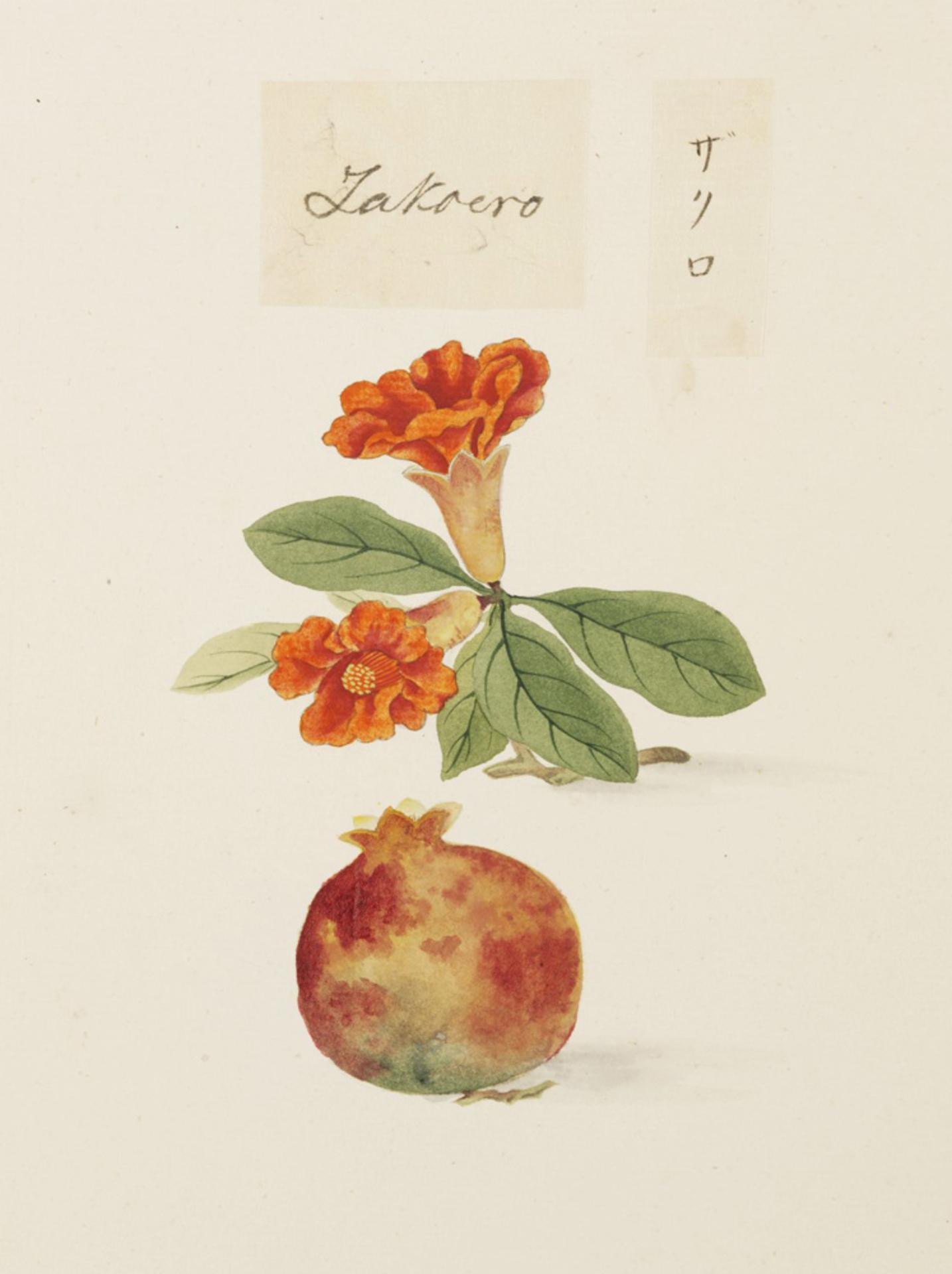 RMNH.ART.626 | Punica granatum