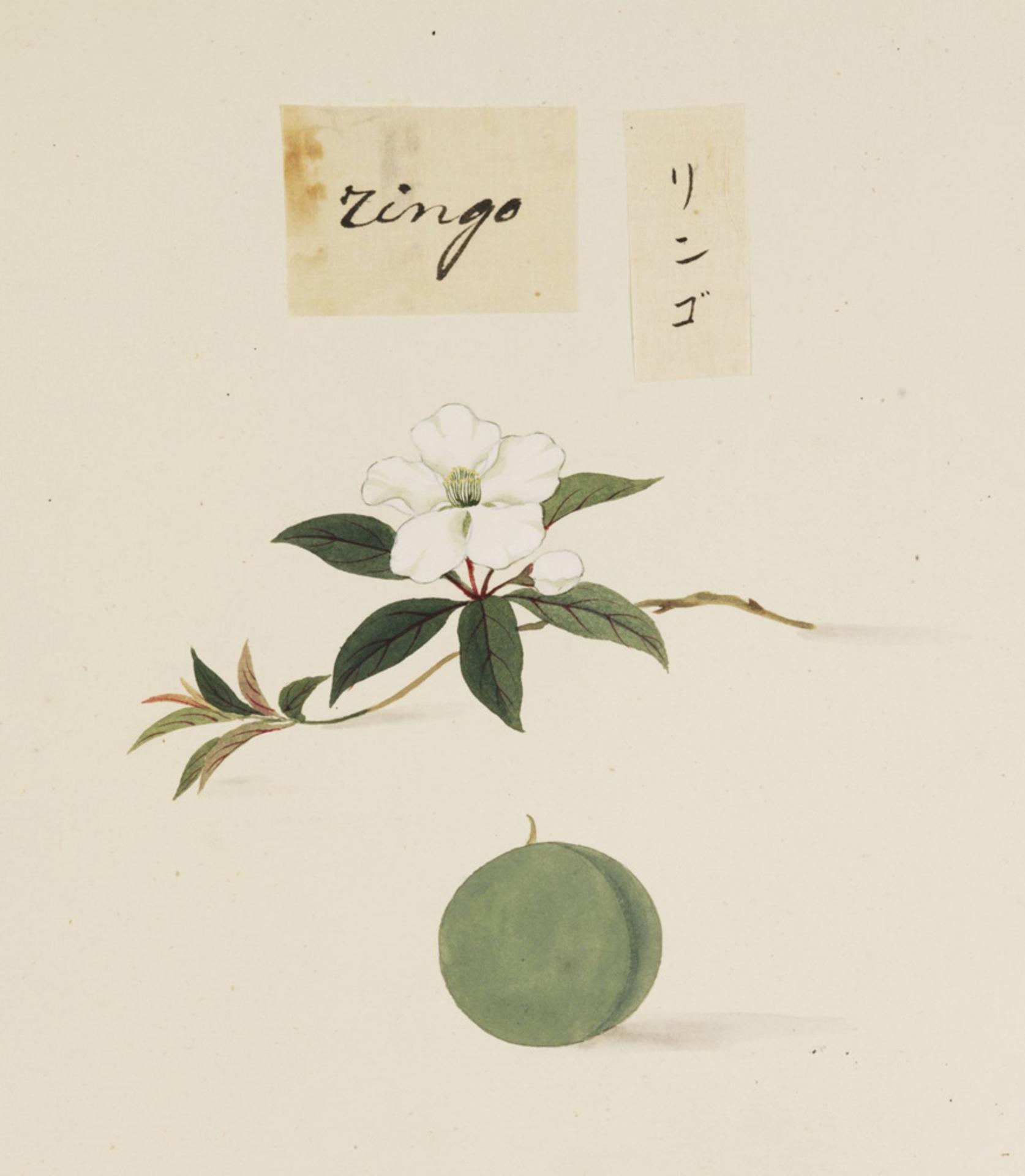 RMNH.ART.630 | Malus pumilia var. domestica