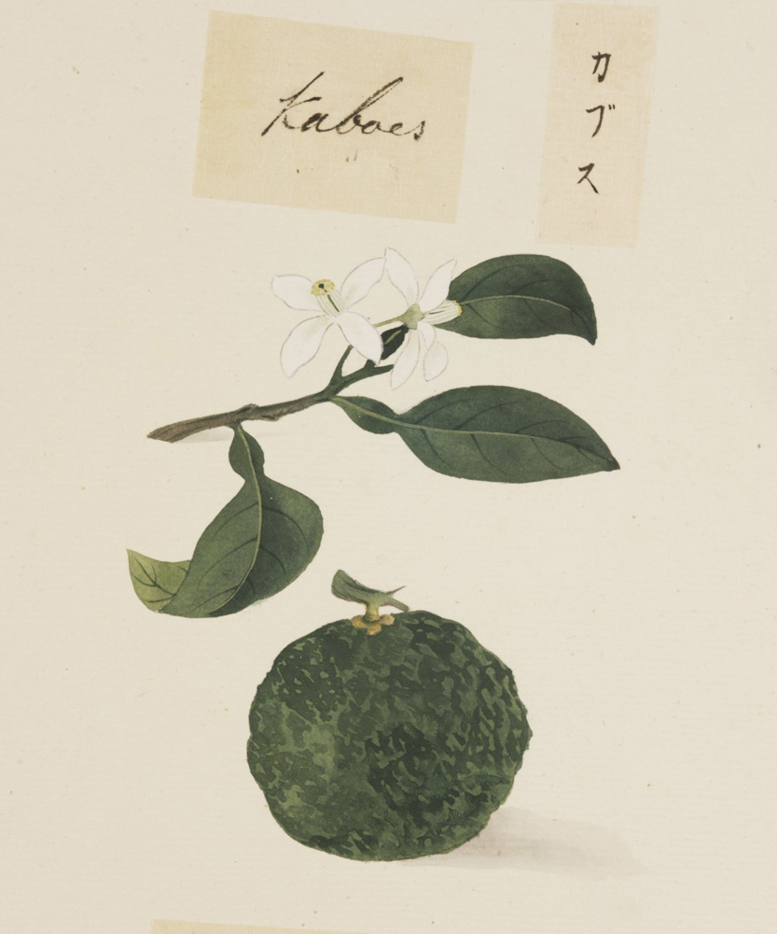 RMNH.ART.634 | Citrus sphaerocarpa