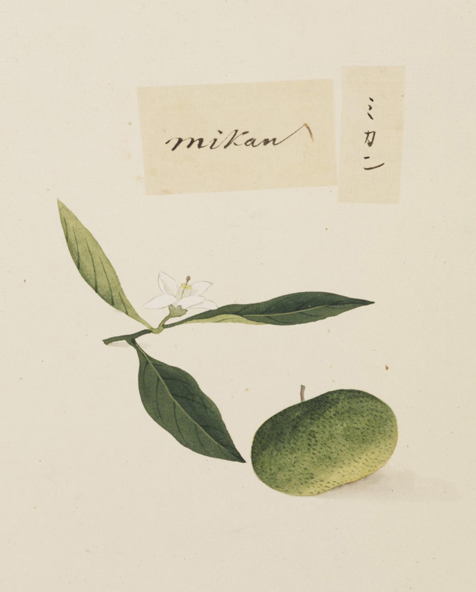 RMNH.ART.637 | Citrus unshiu