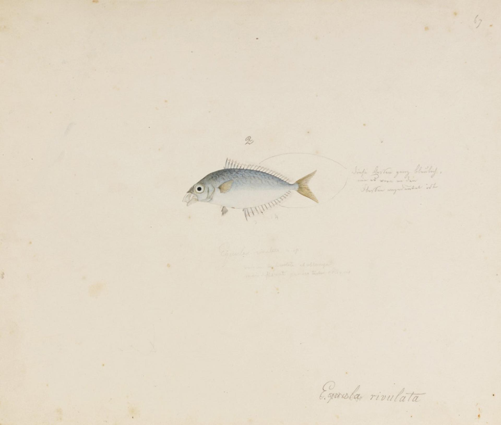 RMNH.ART.640   Leiognathus rivulatus