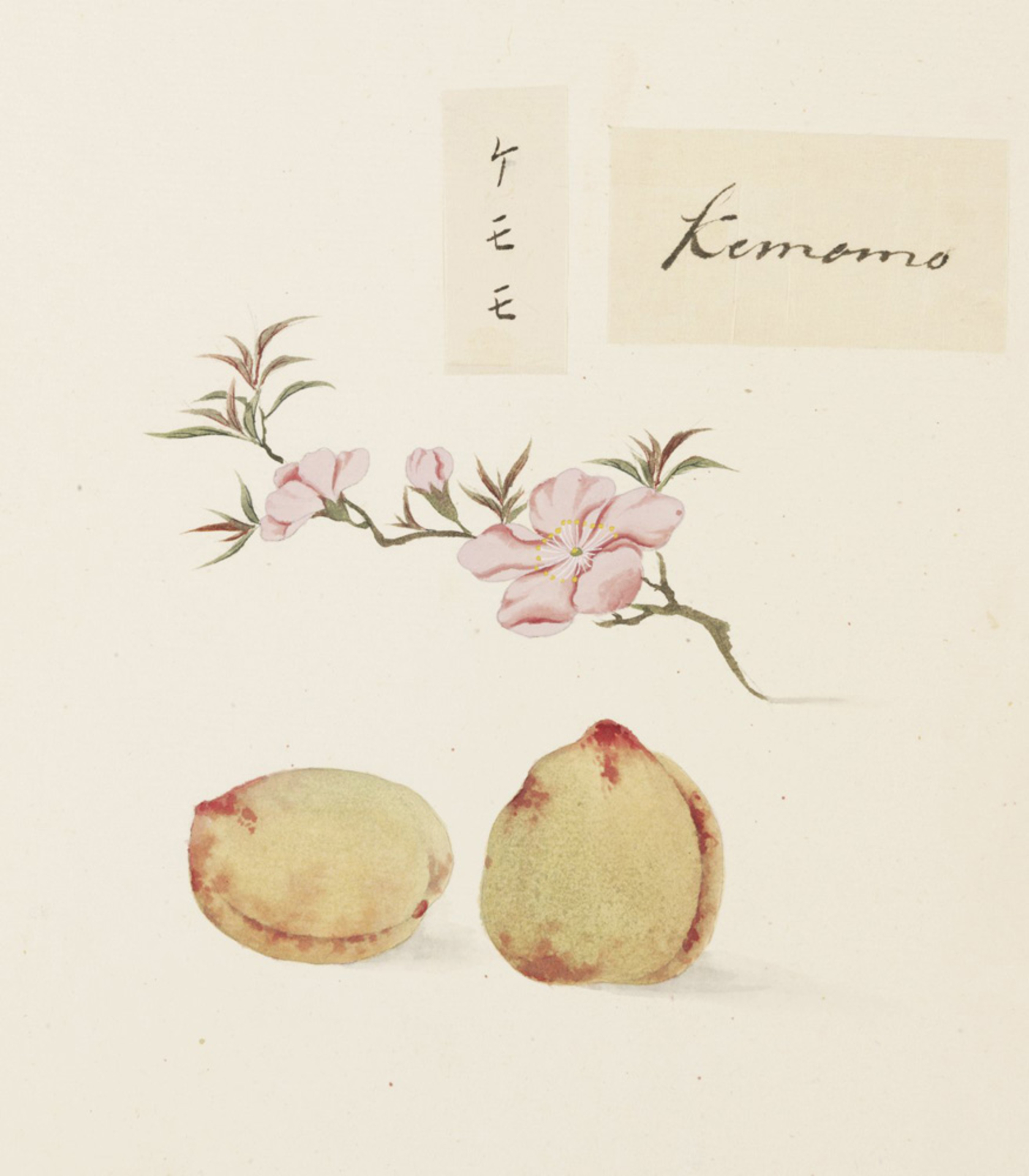 RMNH.ART.641 | Prunus persica
