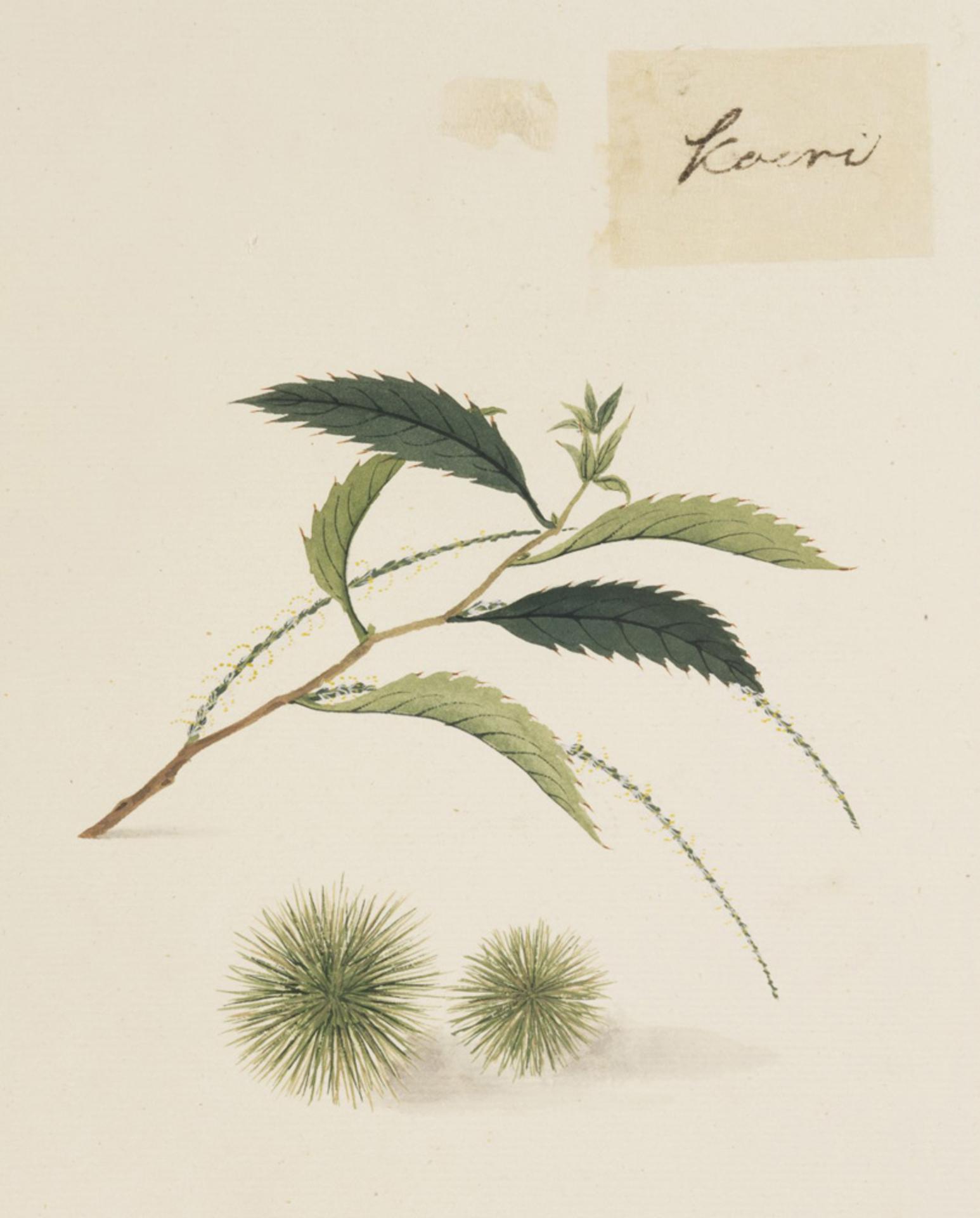 RMNH.ART.647   Castanea crenata