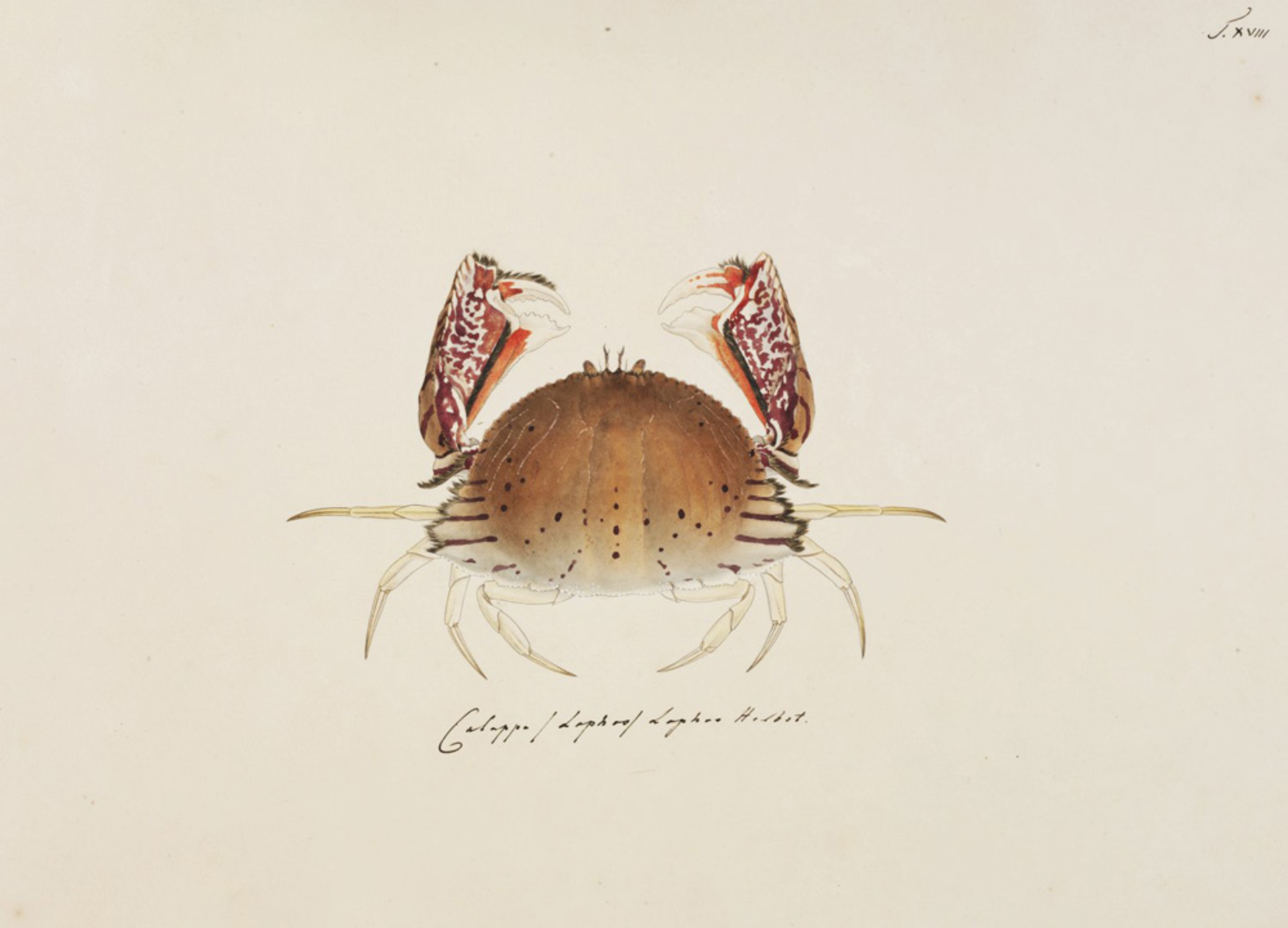 RMNH.ART.65   Calappa lophos