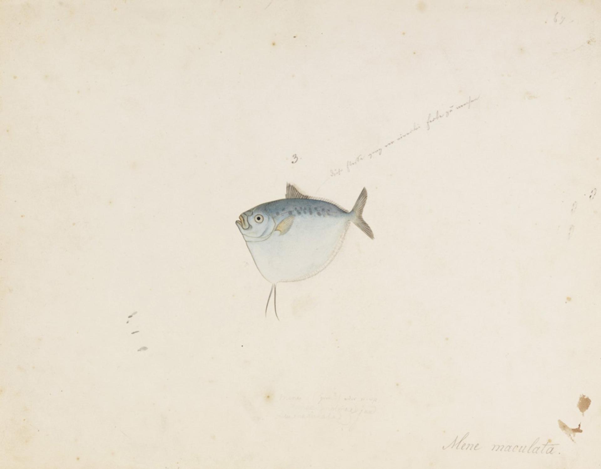 RMNH.ART.650   Mene maculata