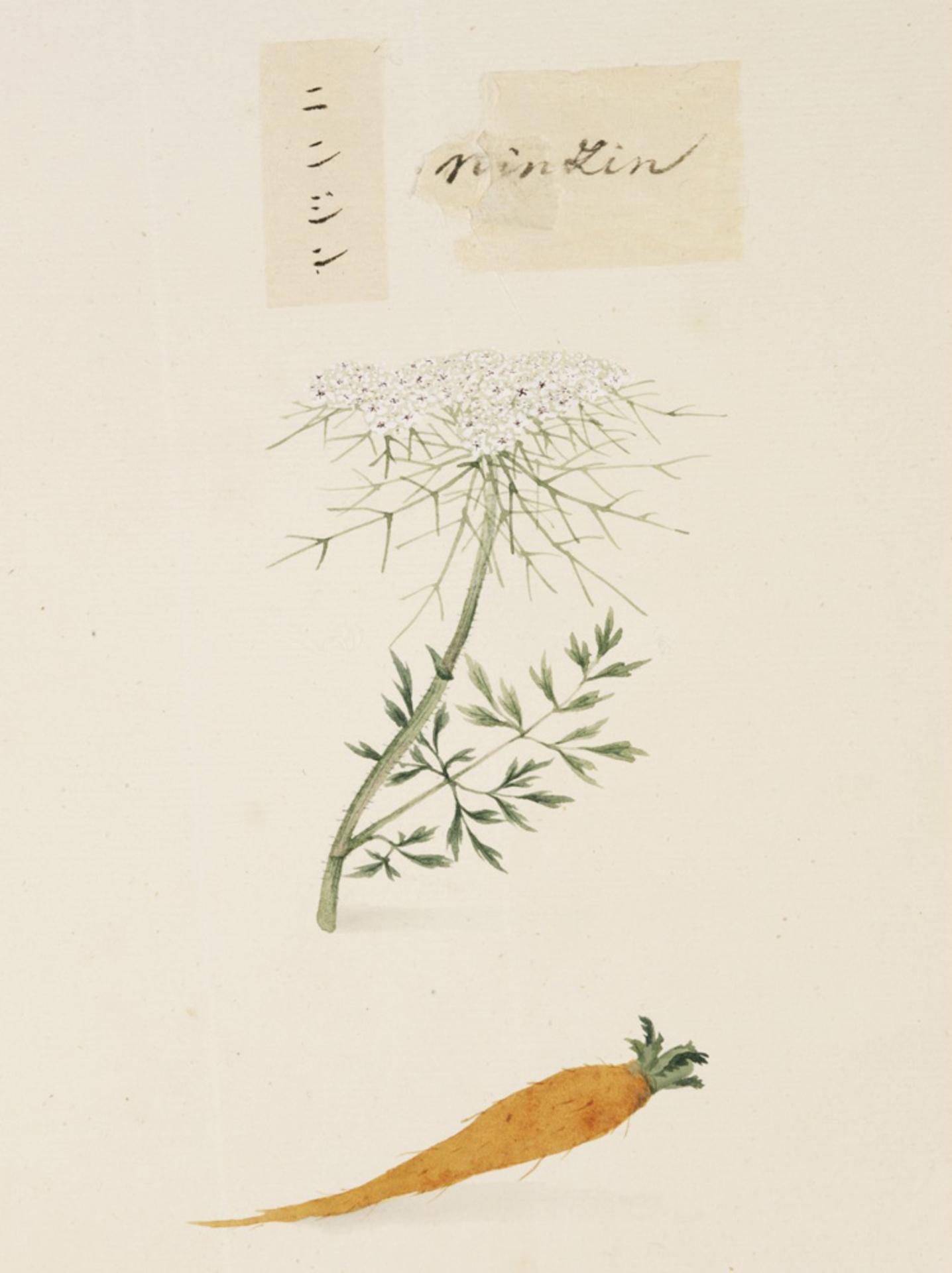 RMNH.ART.654 | Daucus carota