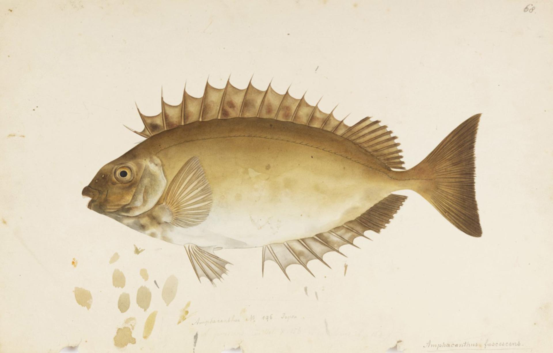 RMNH.ART.661 | Siganus fuscescens