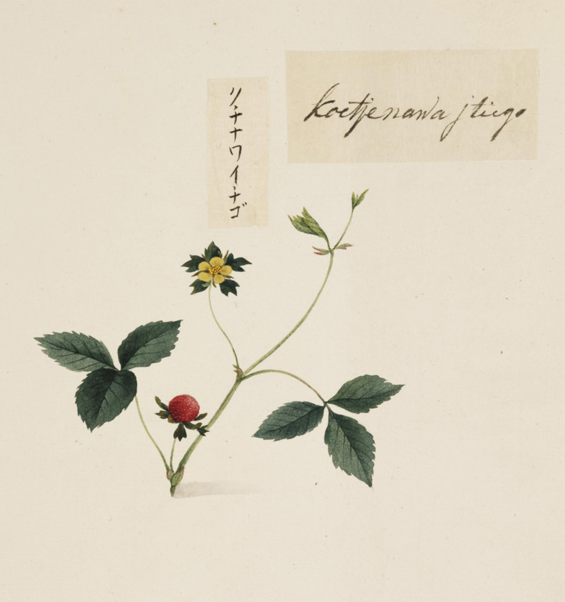 RMNH.ART.662 | Duchesnea chrysantha