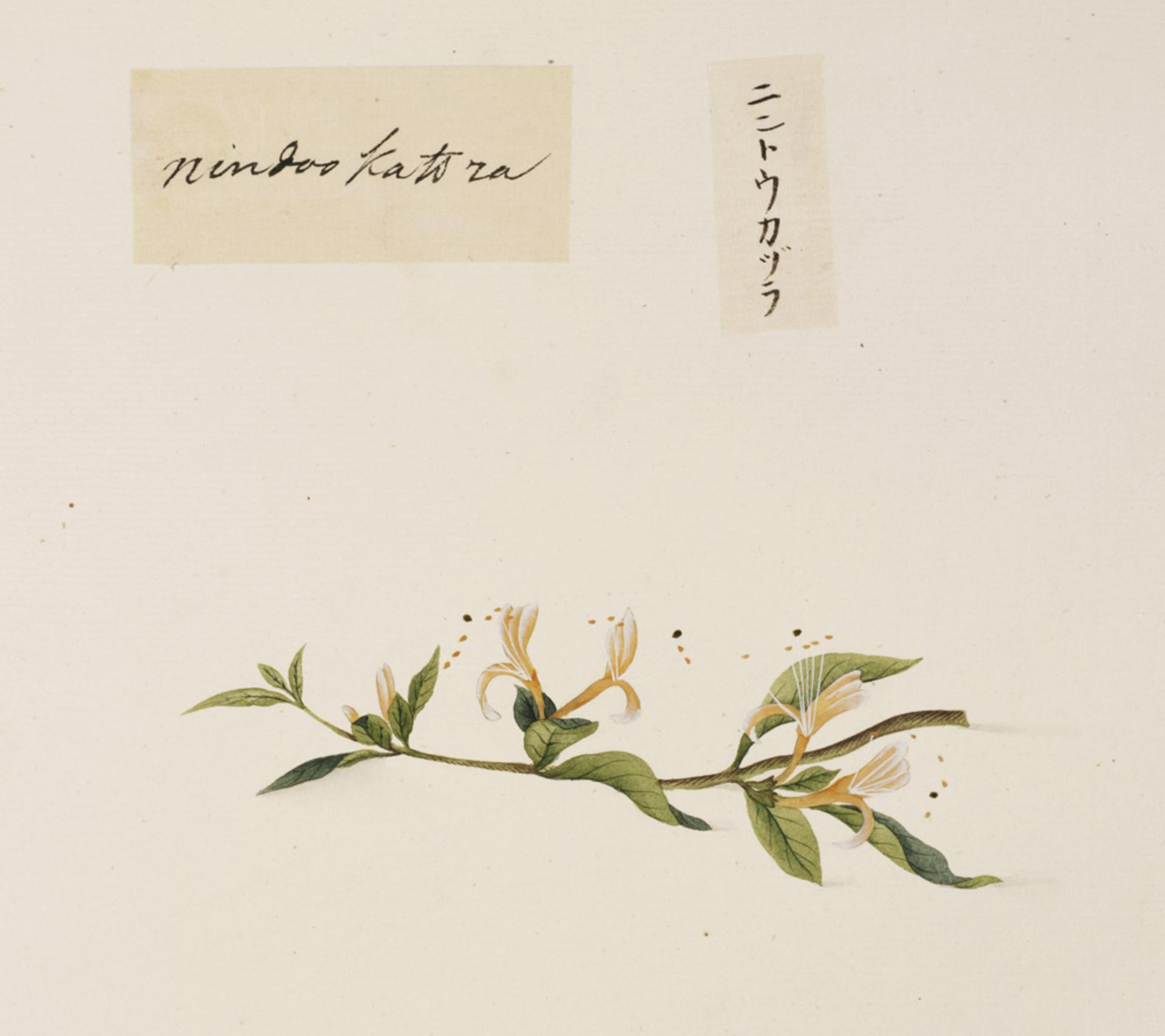 RMNH.ART.664 | Lonicera japonica
