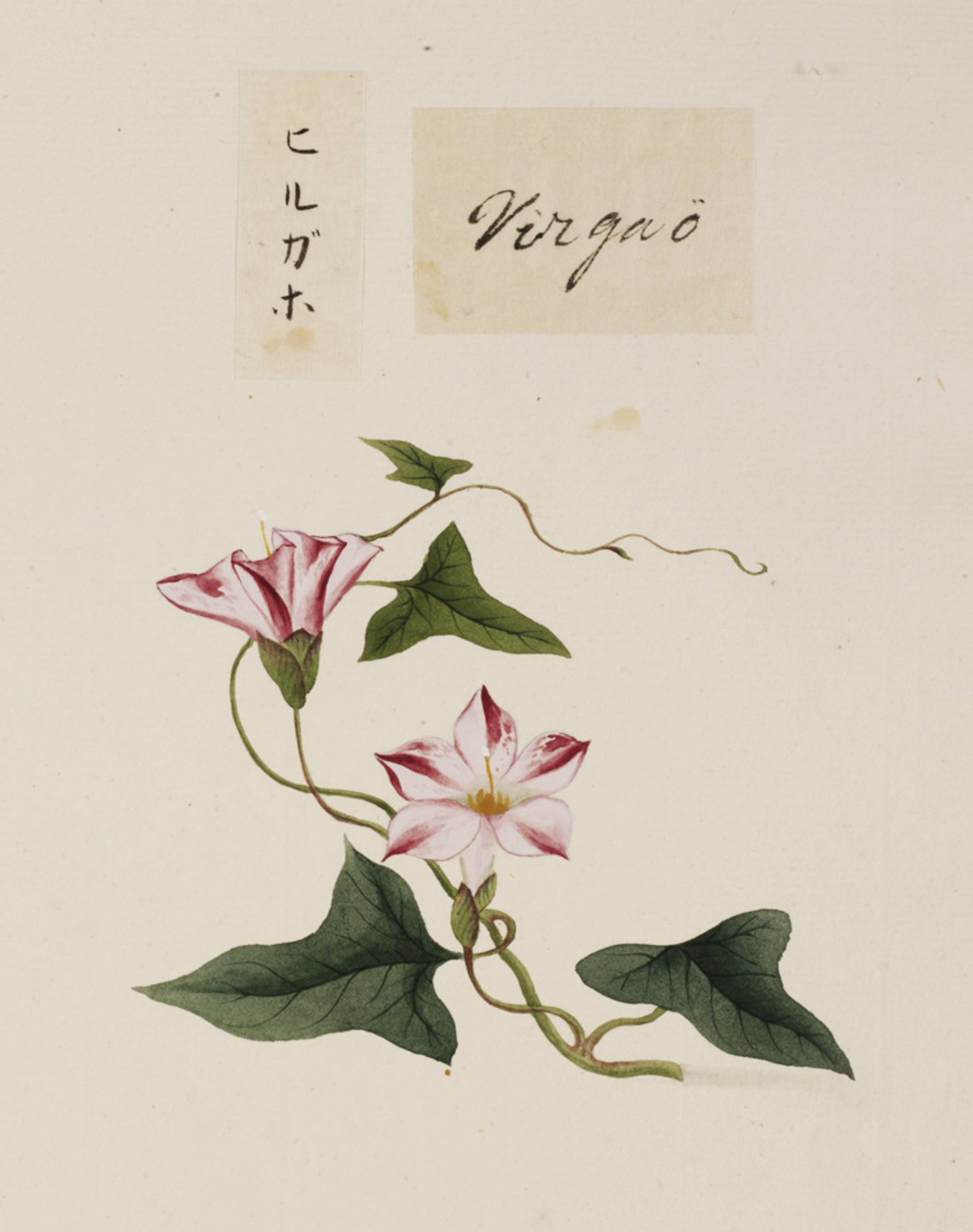 RMNH.ART.671   Calystegia japonica