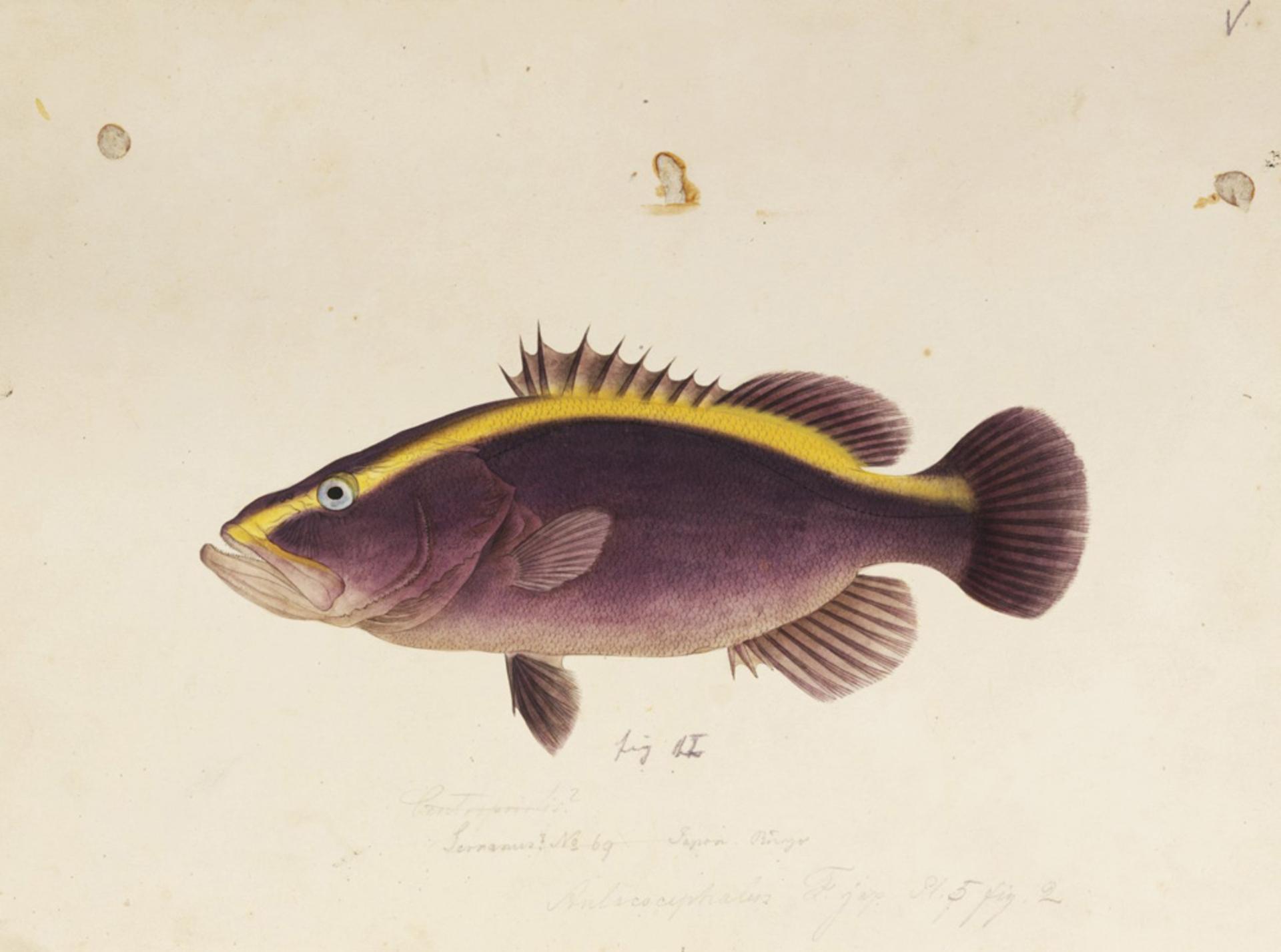 RMNH.ART.672 | Aulacocephalus temminckii