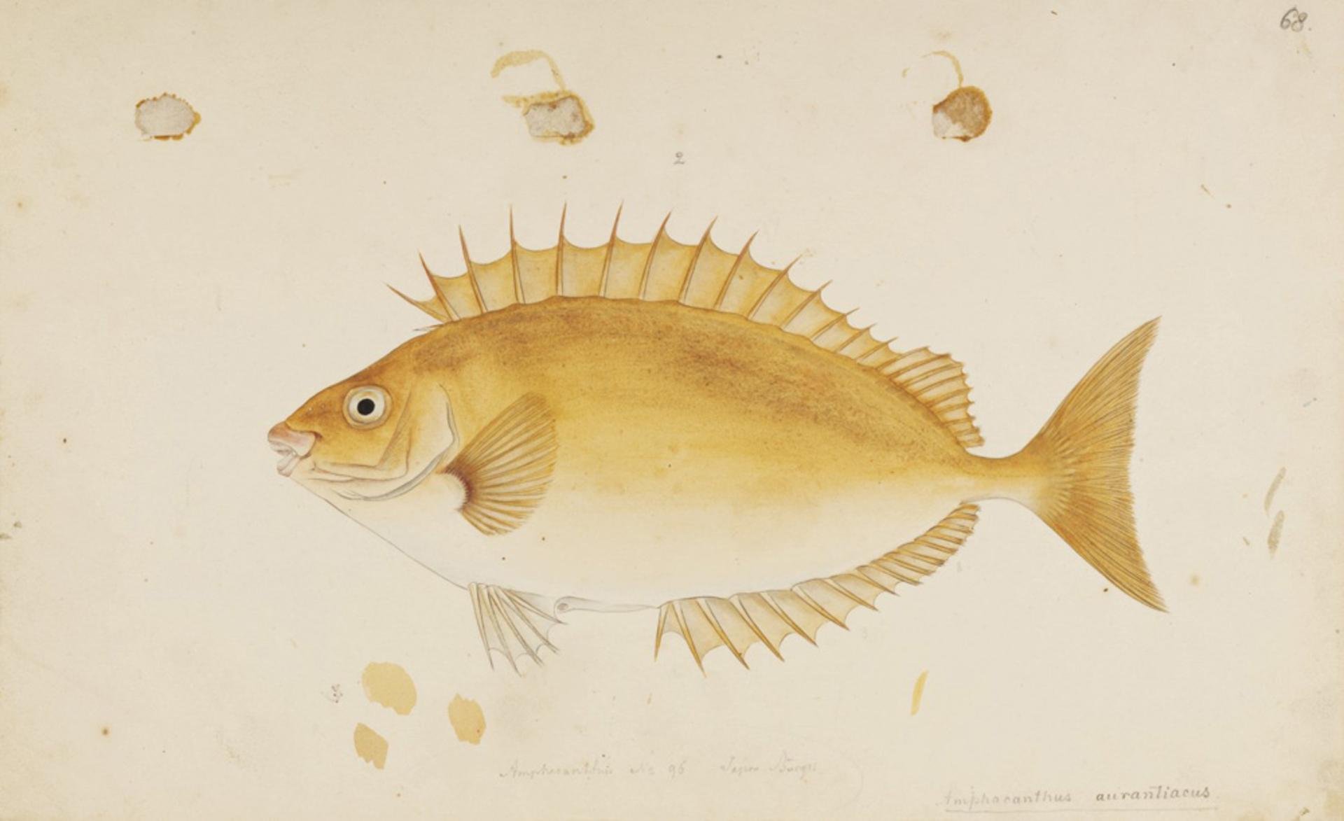 RMNH.ART.673 | Siganus fuscescens