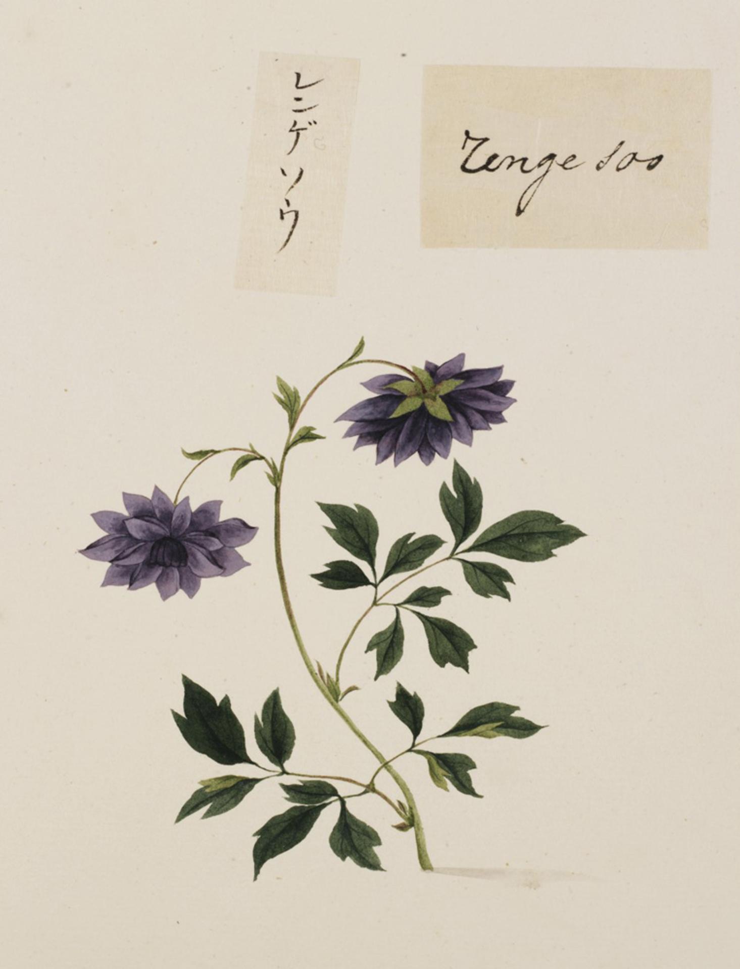 RMNH.ART.675 | Astragalus sinicus