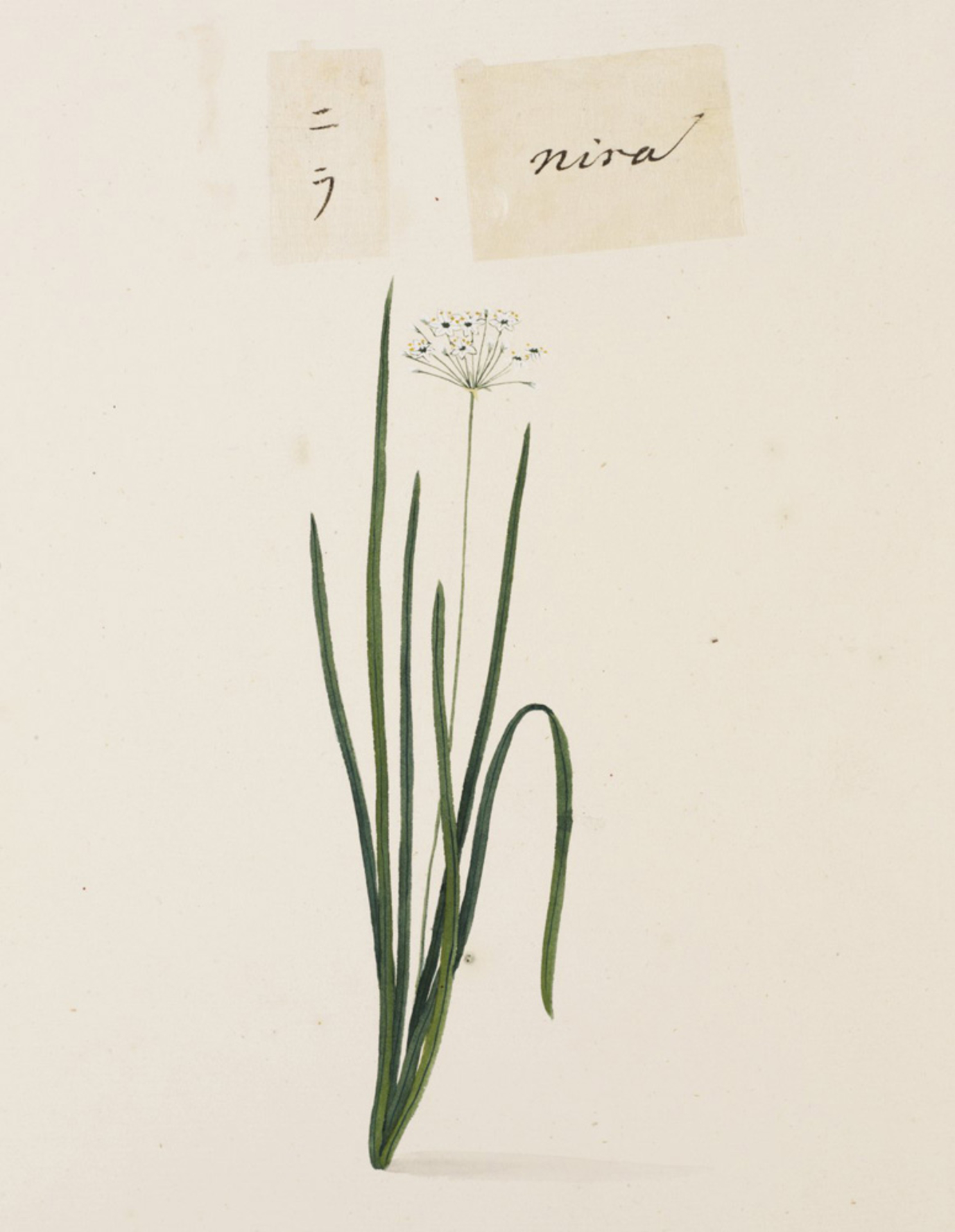 RMNH.ART.678 | Allium tuberosum