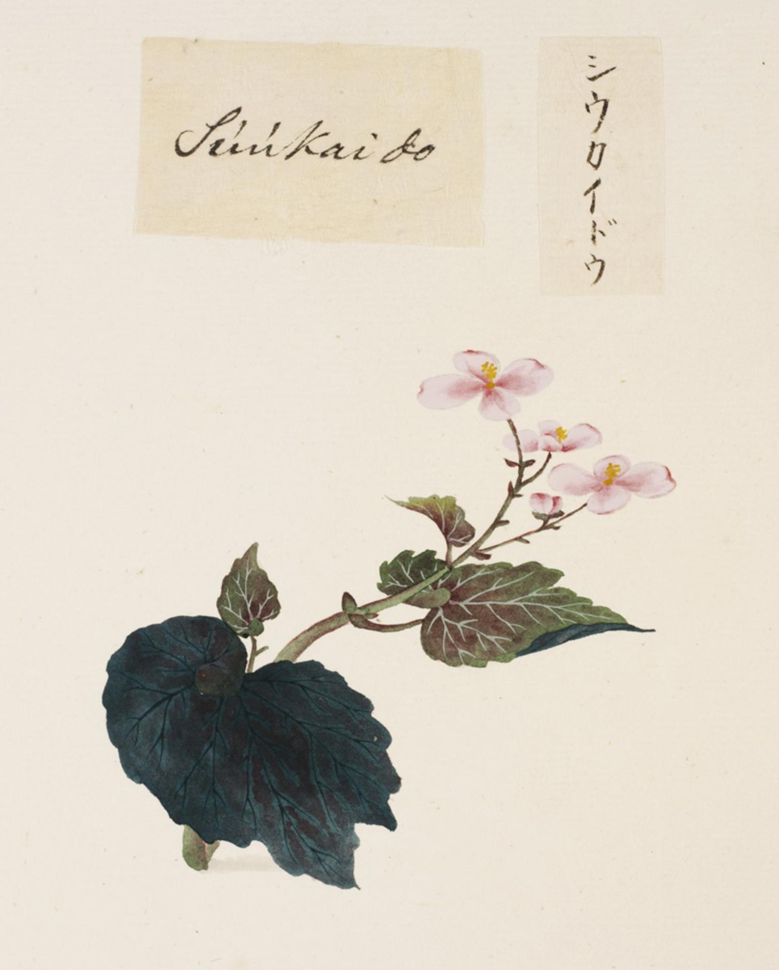 RMNH.ART.680 | Begonia evansiana