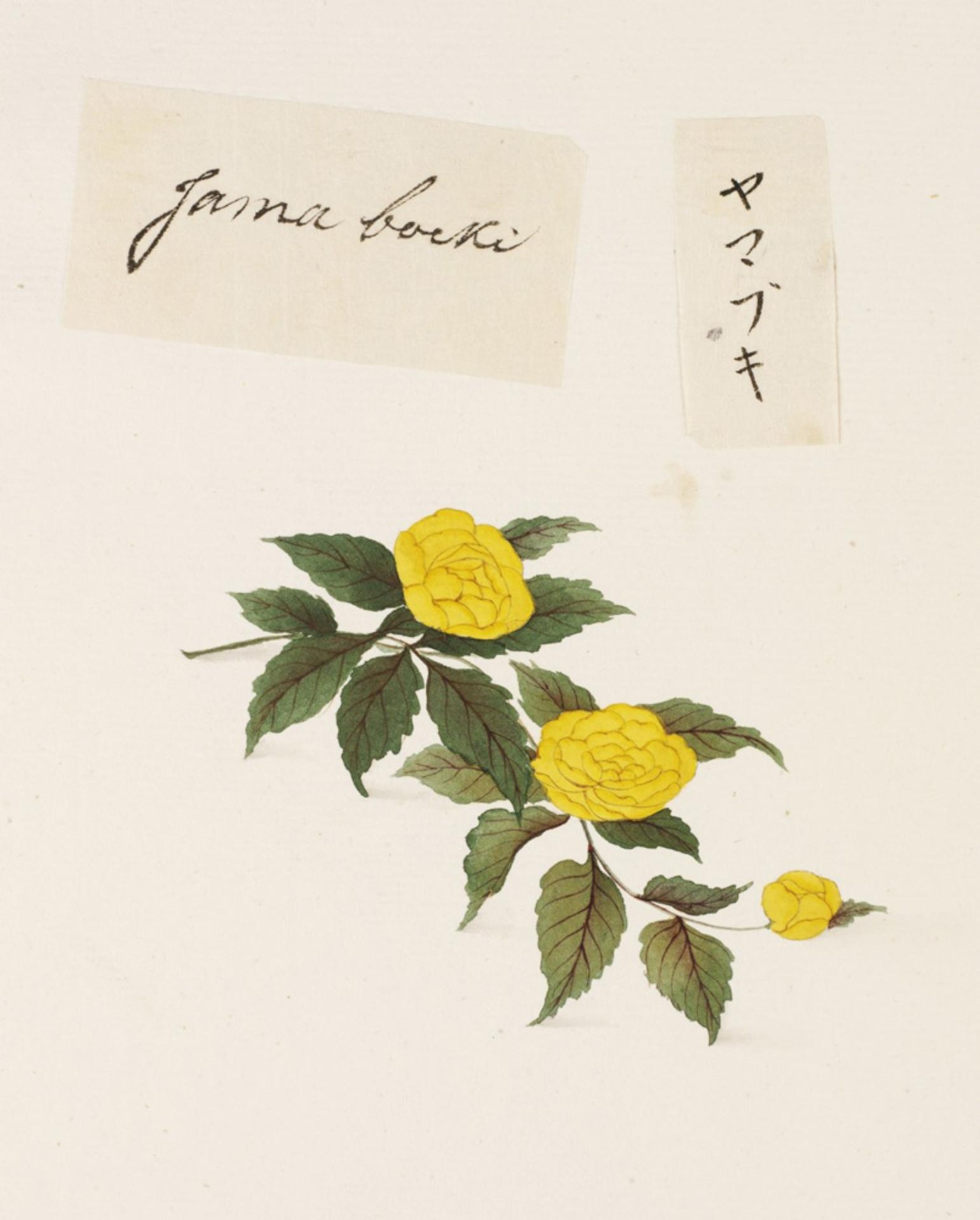 RMNH.ART.681 | Kerria japonica