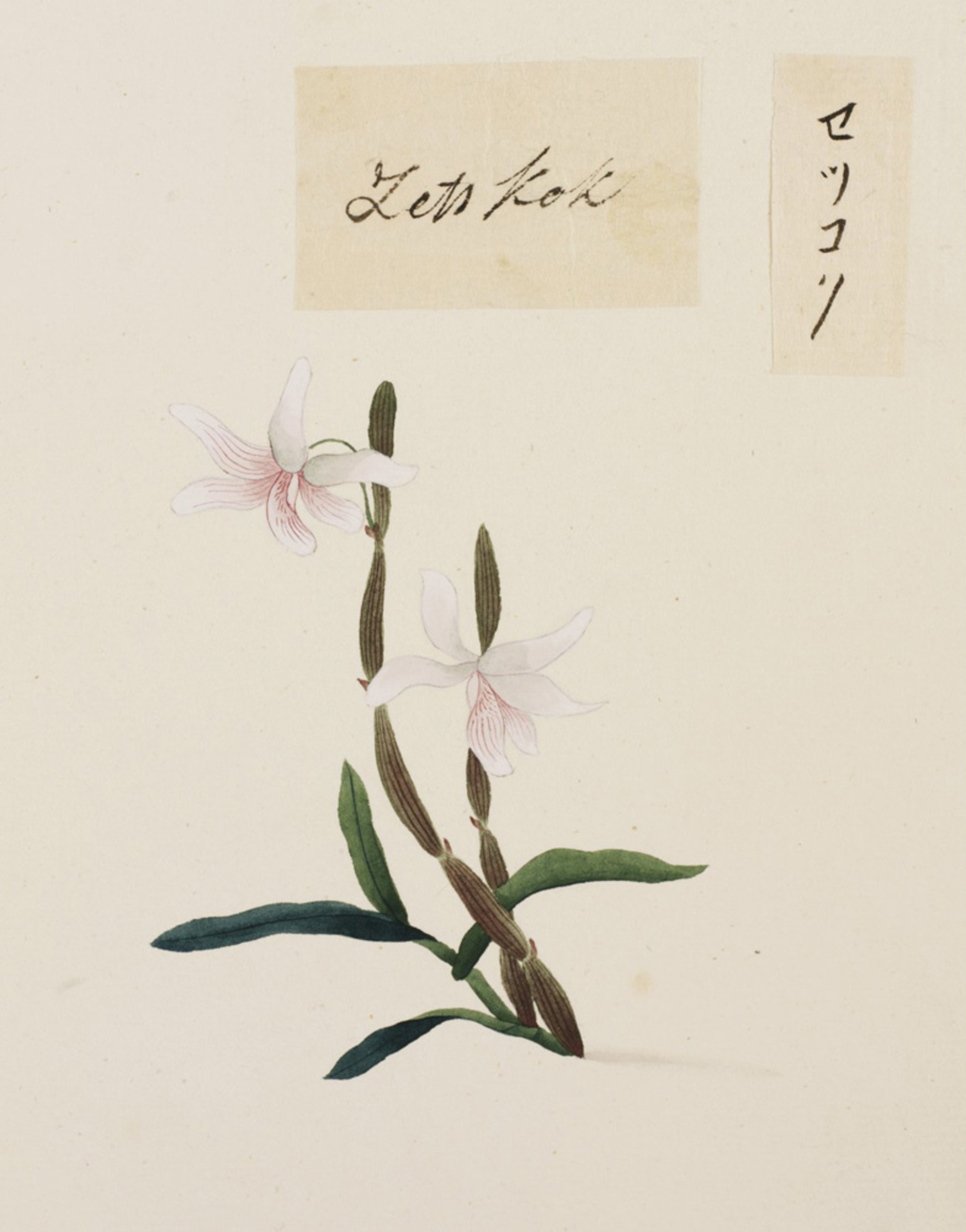 RMNH.ART.685 | Dendrobium moniliforme