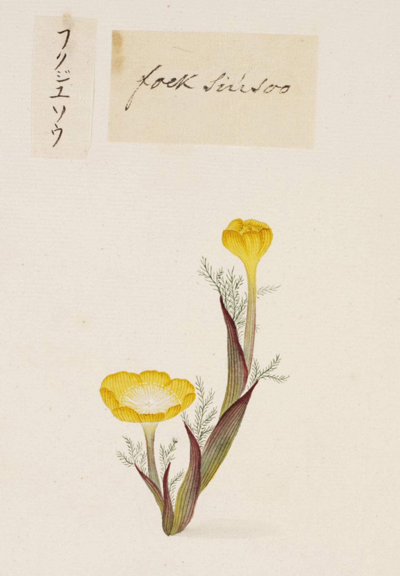 RMNH.ART.688 | Adonis amurensis