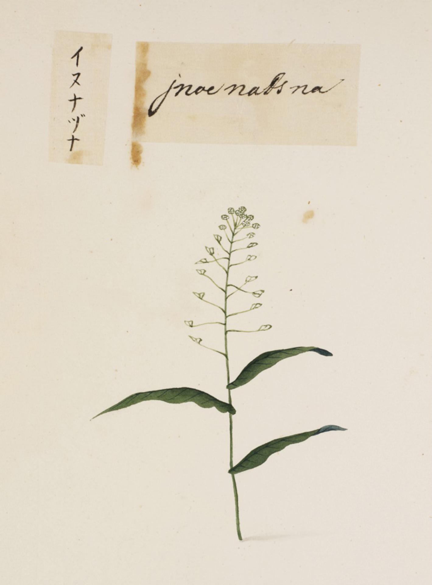 RMNH.ART.690 | Draba nemorasa