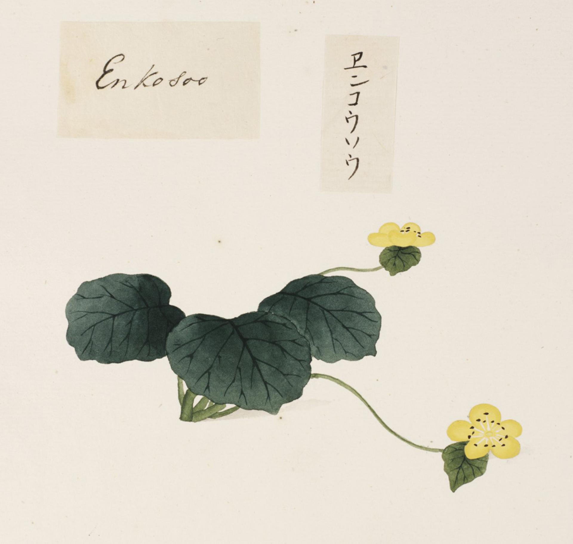 RMNH.ART.694 | Caltha palustris var. enkoso